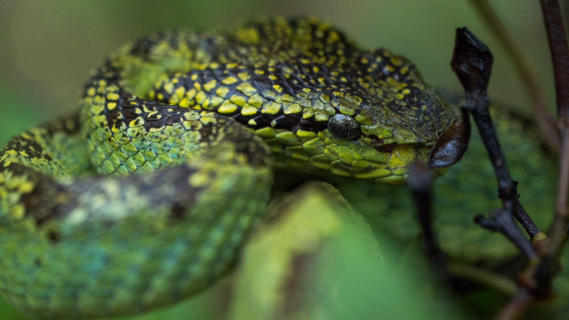 Pit vipers, like this Malabar pit viper, are named after their 'pit organs', located on both sides of the head, between the nostril and eye. Though scientists are yet to understand the full working of this organ, we do know that they are heat-sensitive organs that allow the snake to detect warm-blooded animals, which enables hunting after dark. Photo: Pradeep Hegde