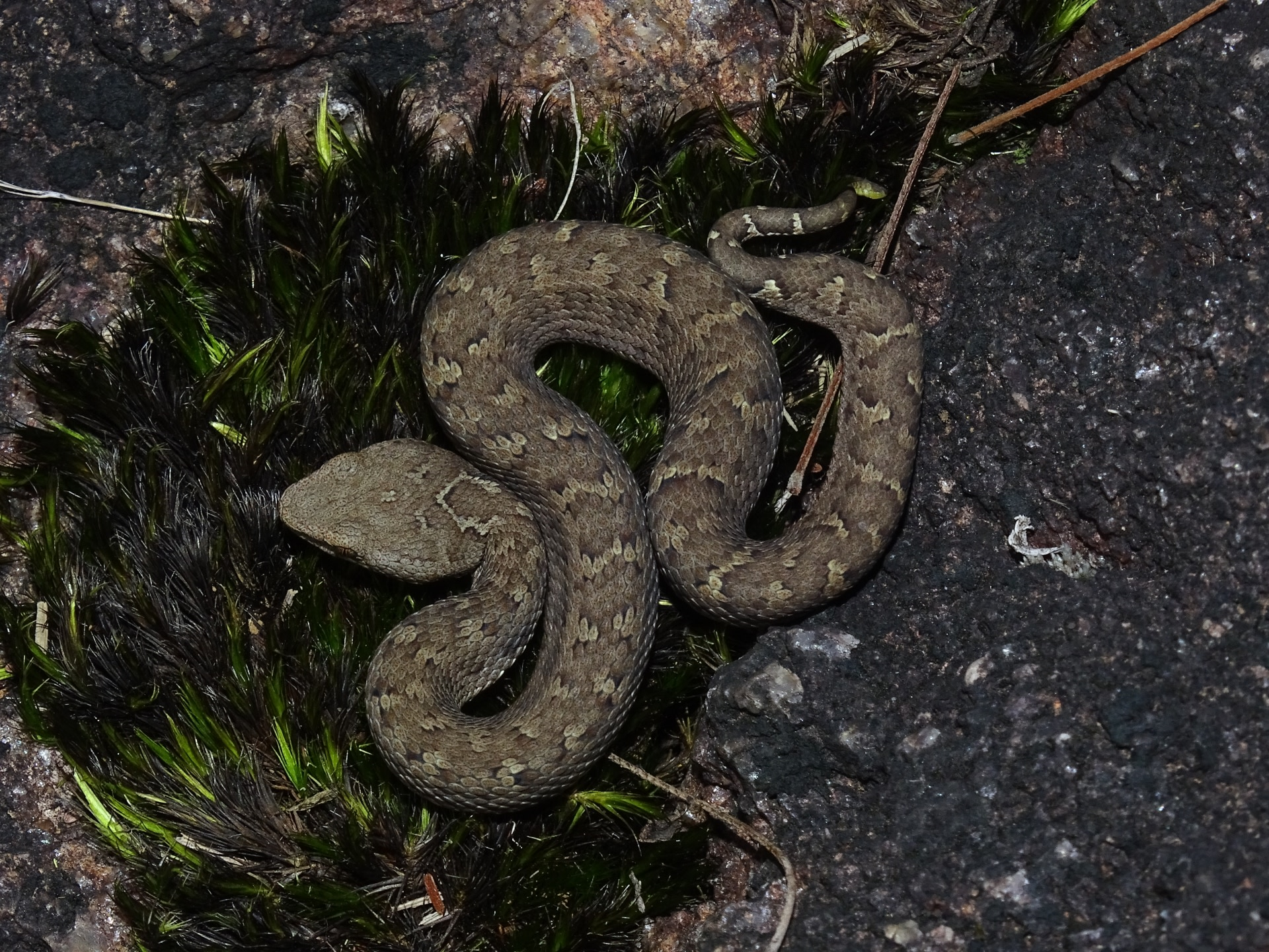 Horseshoe vipers are named for the horseshoe-shaped (inverted 'U') mark on the nape of their neck. They enjoy basking in the sun, perched on rocks covered with moss and lichen. Photo: Gnaneswar CH