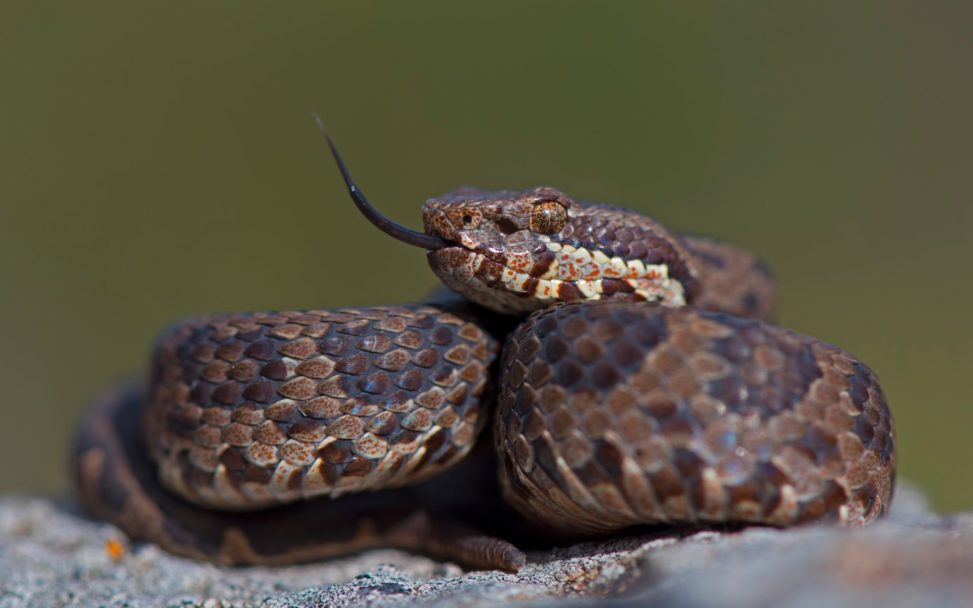 Horseshoe pit vipers are generally coloured in shades of brown and grey, and inhabit the upper Nilgiri Hills of Tamil Nadu. The hill station of Ooty, is prime territory for this snake. Photo: Dhritiman Mukherjee