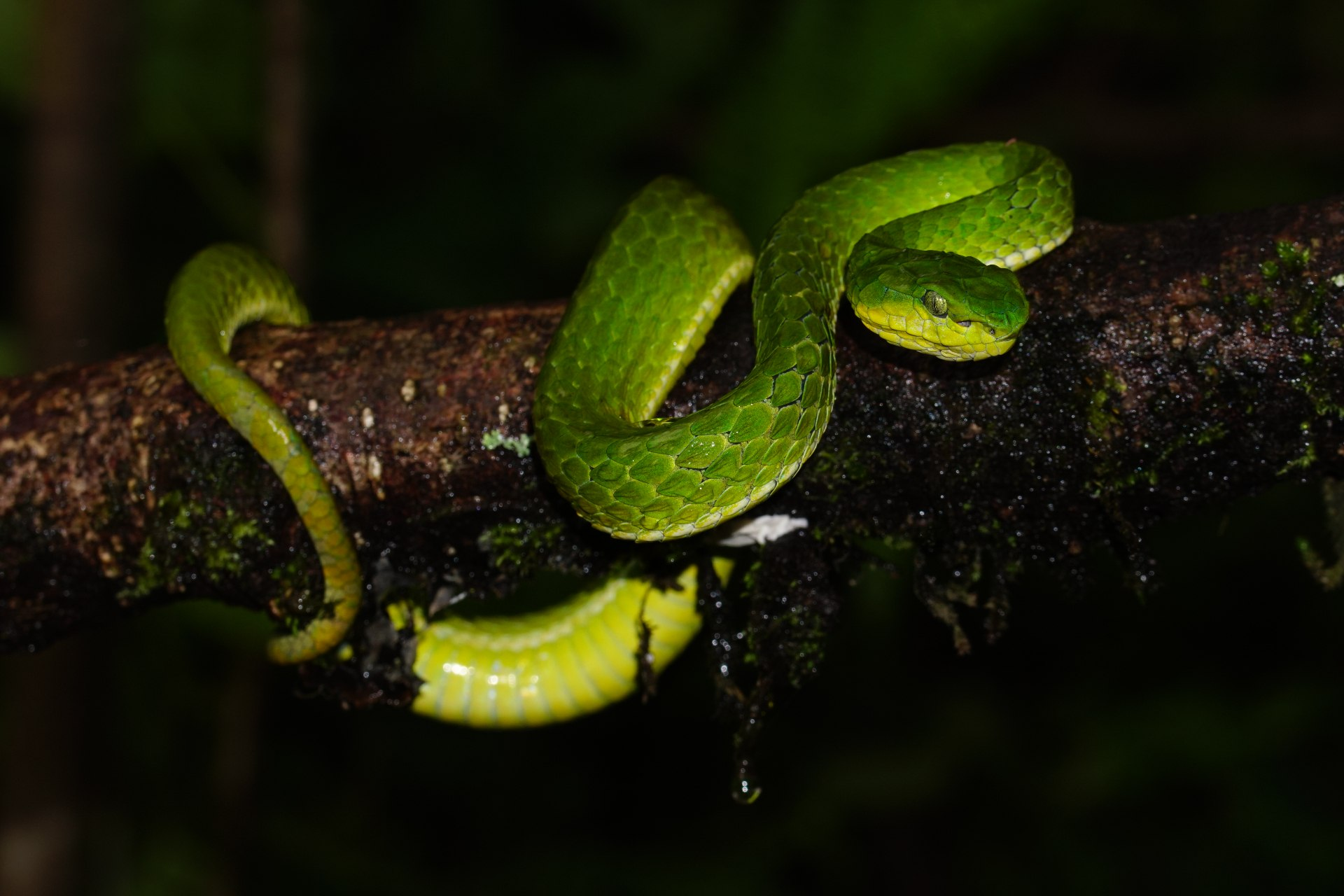Large-scaled pit vipers are nocturnal and feed on frogs, rodents, and small birds, in the coffee and tea plantations of the Nilgiri Hills they inhabit. They get their name from their larger-than-normal scales. Photo: Omcar Pai