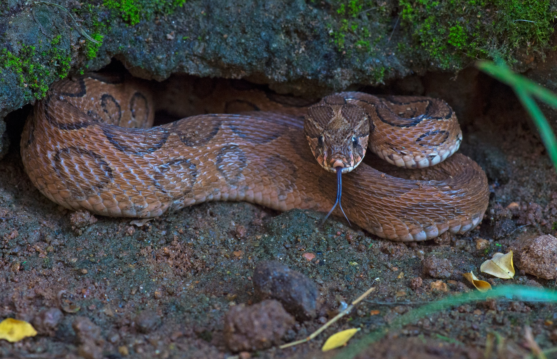 More commonly seen in the plains, the Russell's viper is known to be a temperamental snake, prone to aggression when cornered. With a stout body with oval black-and-brown markings, it is somewhat similar to the Indian rock python, with which it is sometimes confused. Photo: Dhritiman Mukherjee