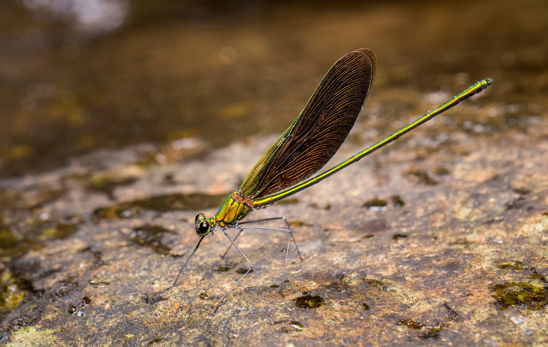 There are over 6,000 species of Odonata on the planet, and most of them depend on freshwater habitats. India has over 500 species, with the greatest diversity in the Western Ghats and Northeast India. This jewel of a damselfly is a male stream glory (Neurobasis chinensis). Photo: Saurabh Sawant  A male damselfly perches on a rock by a stream in the Western Ghats. Cover Photo: Saurabh Sawant