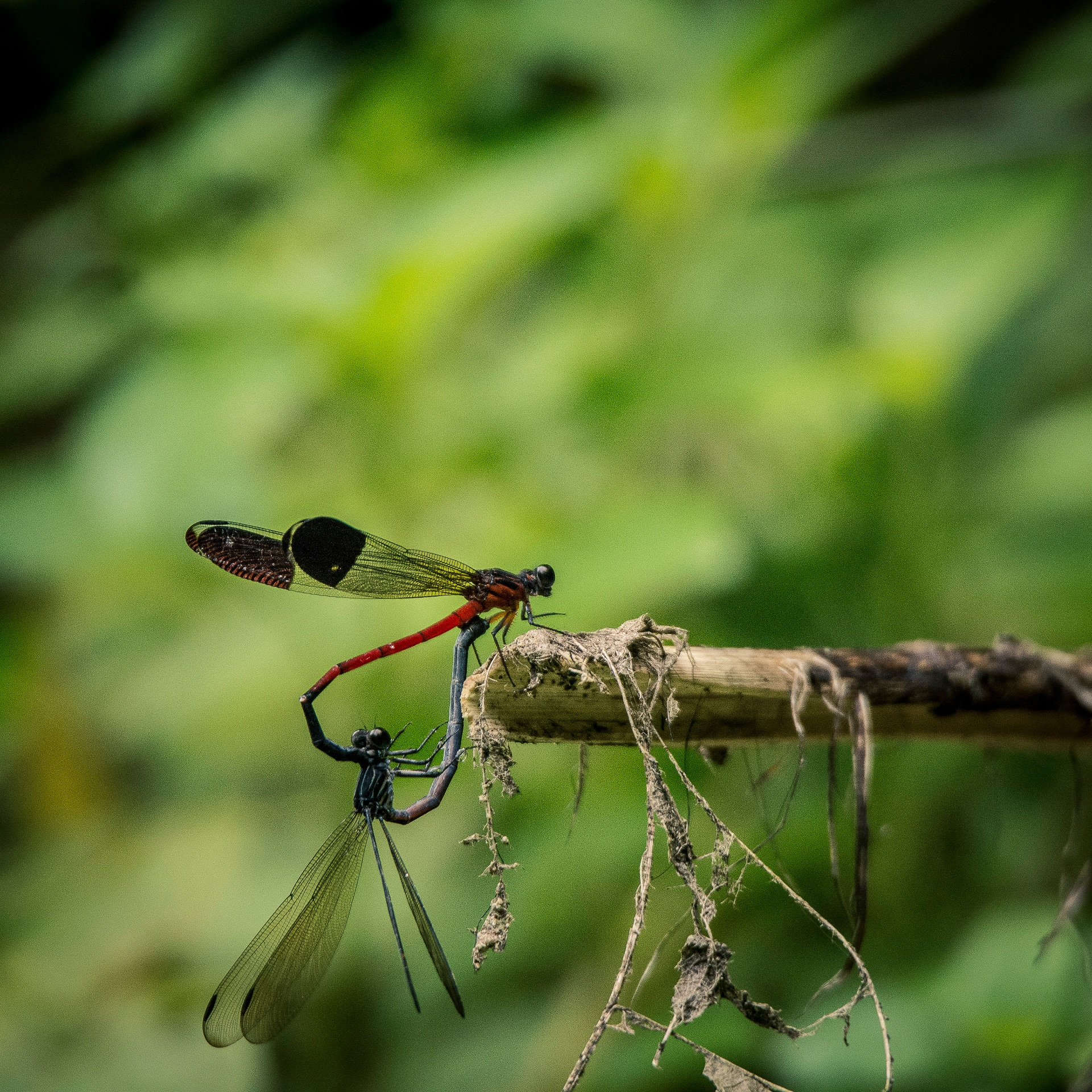 We think of both species as delicate insects with gossamer wings, but this avatar is only the last stage in the life-cycle of an odonate. Both damsel and dragonflies begin their lives in eggs, then hatch into larvae, and evolve into the wingless nymph stage, when they eat voraciously and moult a number of times. This is an image of two damselflies mating a few feet from a flowing stream in Devala, Tamil Nadu. Photo: Samuel John