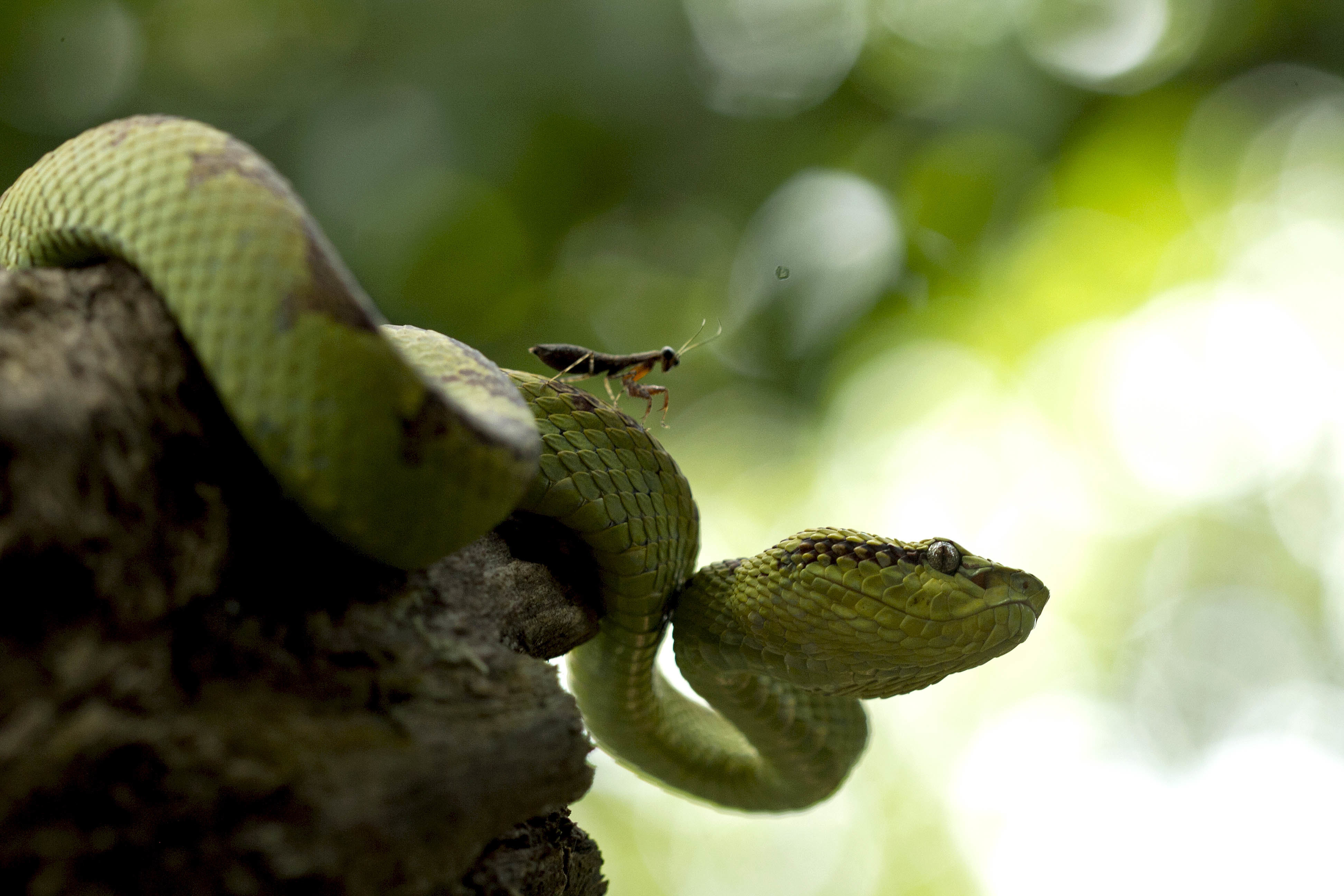 """Nirmal has a soft spot for snakes, especially the Malabar pit vipers. He has been studying the species for many years in the Mhadei Wildlife Sanctuary in Goa, and conducts pit viper expeditions to train amateur herpetologists in understanding the snake and its habitat.  Malabar Pit vipers have a well-defined home range, and are known to hang out in the same spot for years, if left undisturbed. They particularly like being near water, ideally basking on a sunny rock. Nirmal photographed this female, and her praying mantis friend in Mhadei. """"Almost every day, we would see this praying mantis sitting on the snake,"""" he recalls. Photo: Nirmal Kulkarni"""