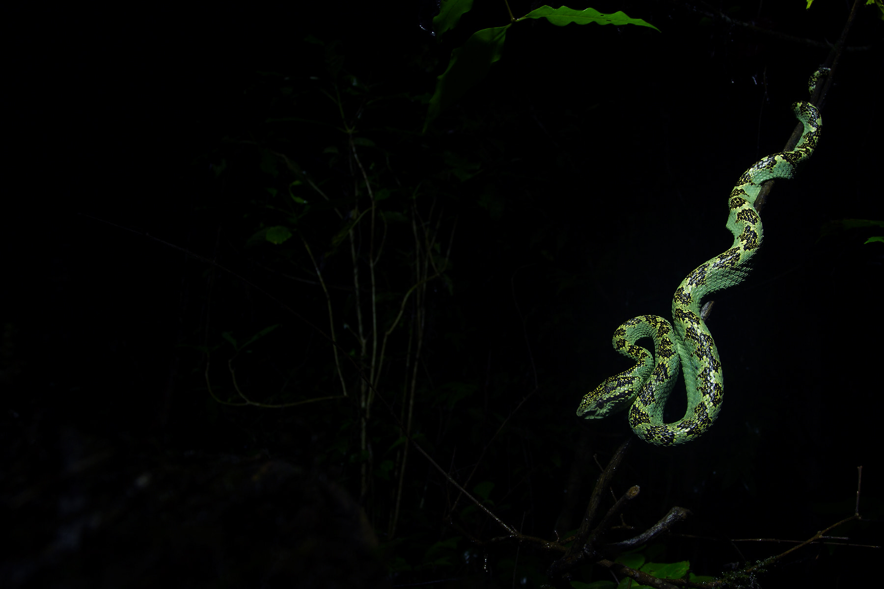 """Monsoon is the best time to observe herpetofauna, as they are more active during this season. However, it is important to maintain a respectable distance, especially when photographing snakes like this Malabar pit viper from Agumbe. """"I wanted to capture the essence of the snake and its nocturnal world in this photograph,"""" says Shreeram. """"I used a torch to paint the snake, keeping the rest of the habitat in the dark. It's quite a challenge to locate them in the day as they blend into the forest, coiled up on a leafy branch, or root somewhere."""" Photo: Shreeram MV"""