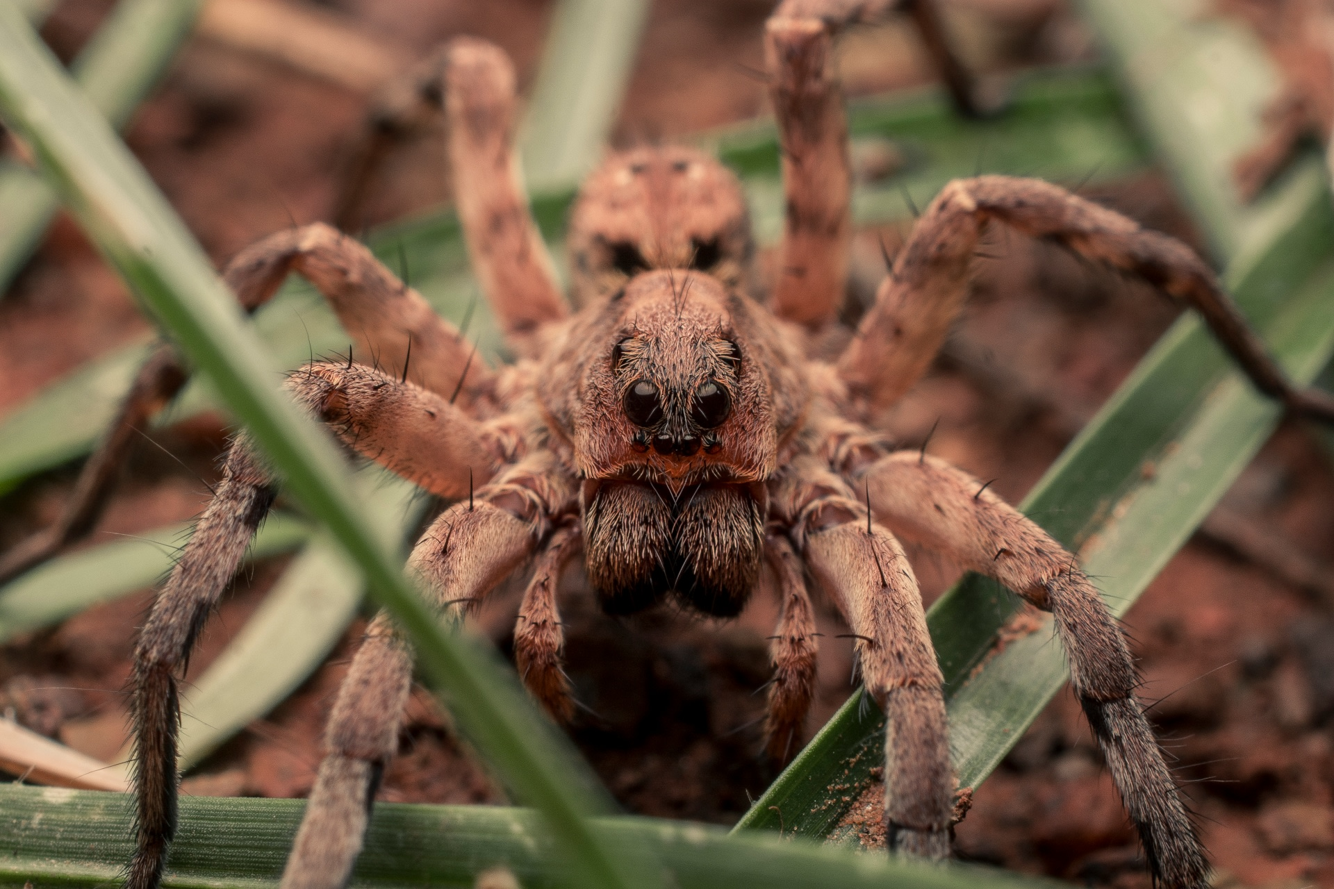 A wolf spider has excellent eyesight. It has eight sharp, dark eyes, two large ones on the top of the head, two on the front, and four small eyes just above its mouth. Each set performs a specialised function. Photo: Samuel John  Wolf spiders, often mistaken for tarantulas, are nocturnal creatures and often stalk and hunt their prey in the dead of the night.  Photo: Samuel John