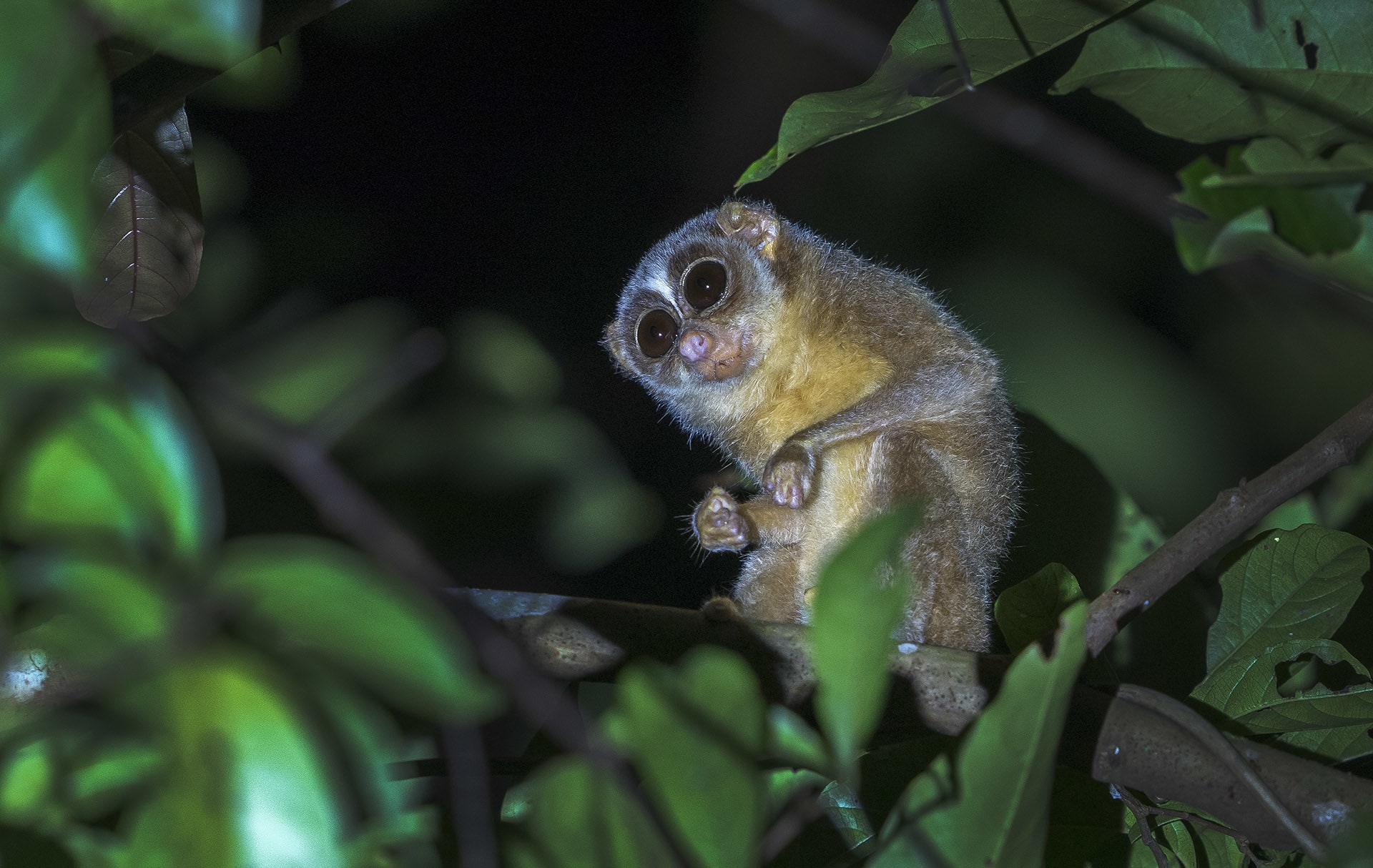 With a firm grip, the slender loris can hang for hours upside down from a branch using its feet, while using its hands to feed. Photo: Dhritiman Mukherjee