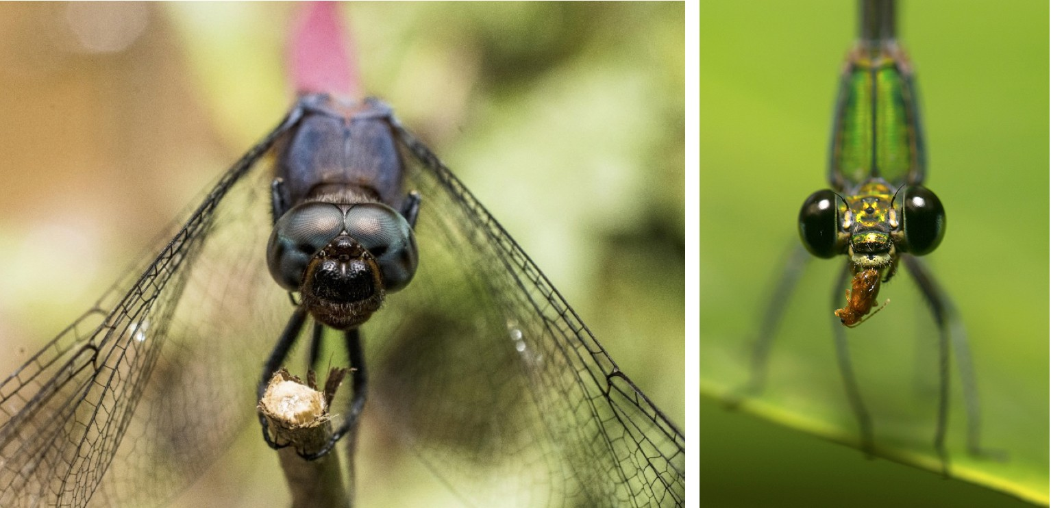 Get a little closer and you will notice another difference between the two species: their eyes. Both have compound vision, though damselflies like the clear-winged forest glory (right), have space between their eyes, while dragonflies (left) do not.  Photos: (Right) Saurabh Sawant (left) Samuel  John