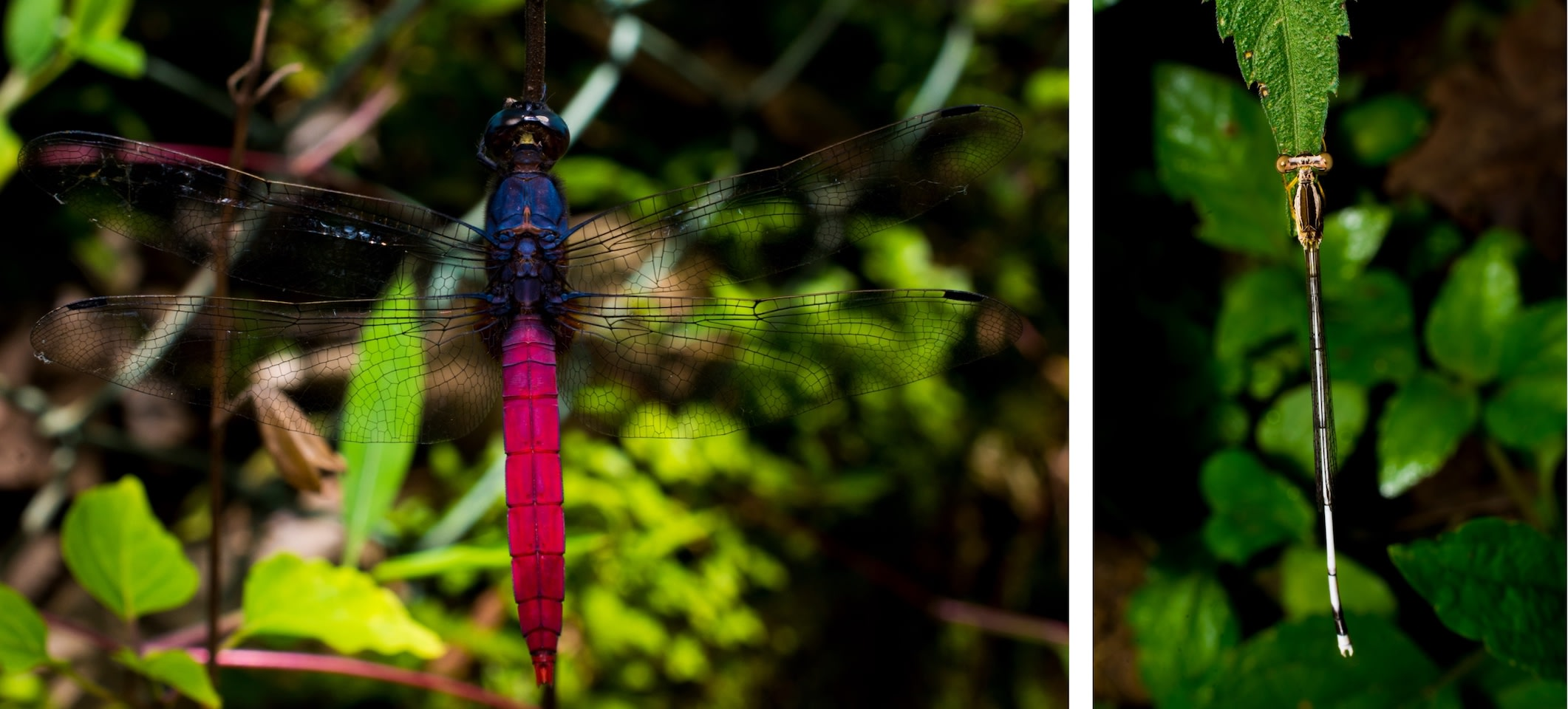 Dragonflies and damselflies have lots in common, and a few notable differences. The simplest way to identify them is to take notice of the insect's resting position: The wings of a dragonfly (left) rest perpendicular to the body, like an airplane, while damselflies (right) fold their wings together at rest. Damselflies also have thinner bodies than dragonflies. The odonate on the top is the crimson-tailed marsh hawk (Orthetrum pruinosum) from Gudalur, Tamil Nadu. Photos: Samuel John.