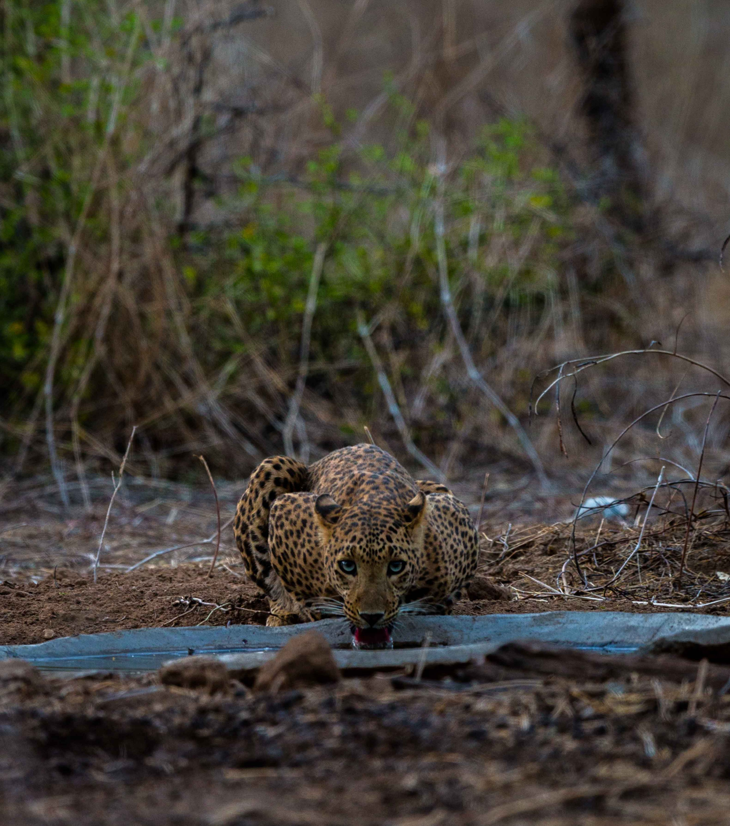 A leopard is a solitary animal, who rests in the day, and spends its nights hunting for prey. Photo: Surendra Chouhan