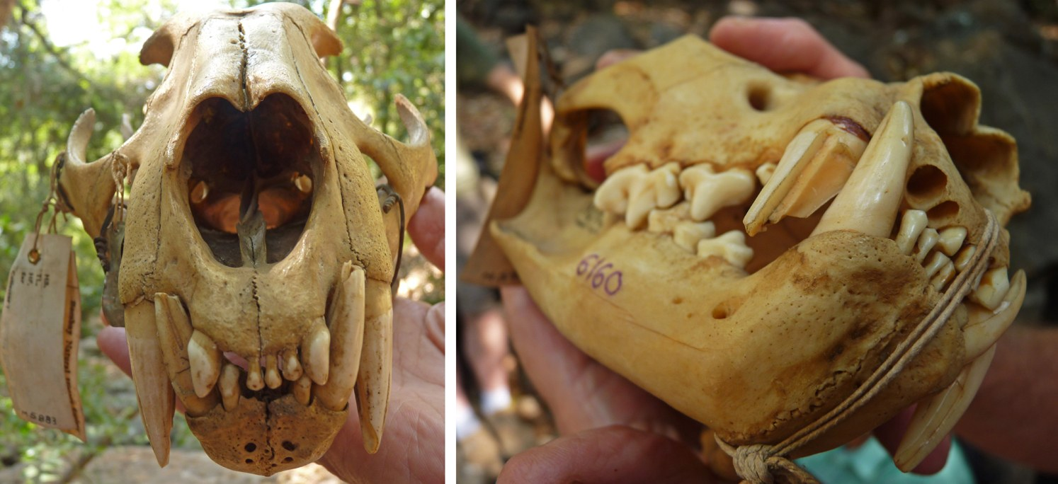 Leopard skulls with broken teeth from the museum of the Bombay Natural History Society in Mumbai. Photos: Janaki Lenin  Tigers have the largest canines of all cat species. Their set of 30 teeth is perfect for grasping galloping prey, breaking their necks, and ripping their flesh. Cover Photo: Sam Rino/Shutterstock