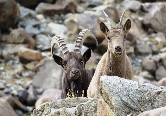 The Himalayan ibex's most striking feature is its huge, curved horns, characterised by notches in the front. Its fur ranges from pale to dark brown, and varies in thickness according to the season. Photo: Tashi Lonchey - CC BY-SA 4.0