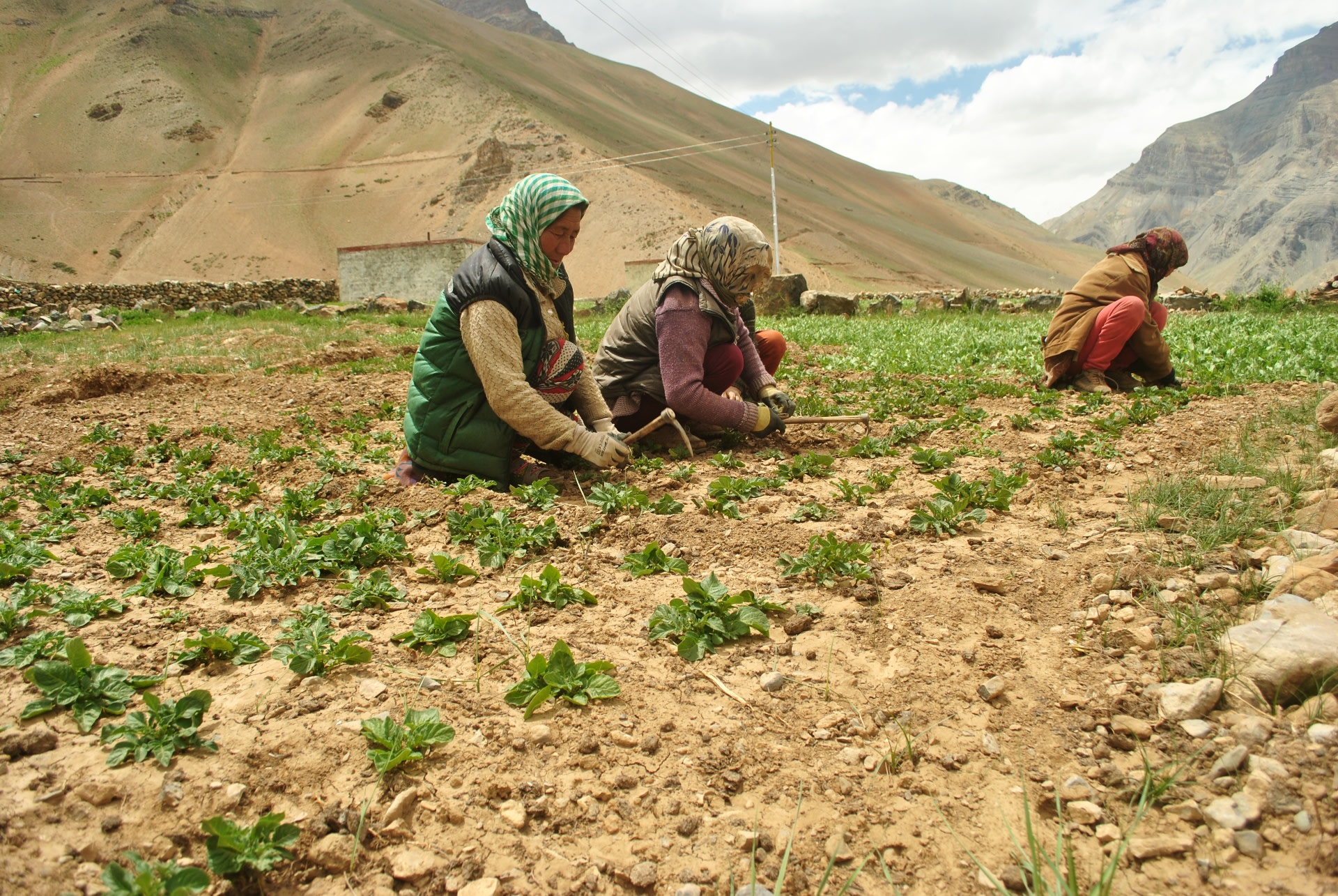 Women of Sagnam village work on fields of green pea, which is the main cash crop for the villagers in the region. The peas of Spiti Valley are famed for their sweetness, and crunch, and sought after at lower altitudes. Photo: Abhishek Ghoshal