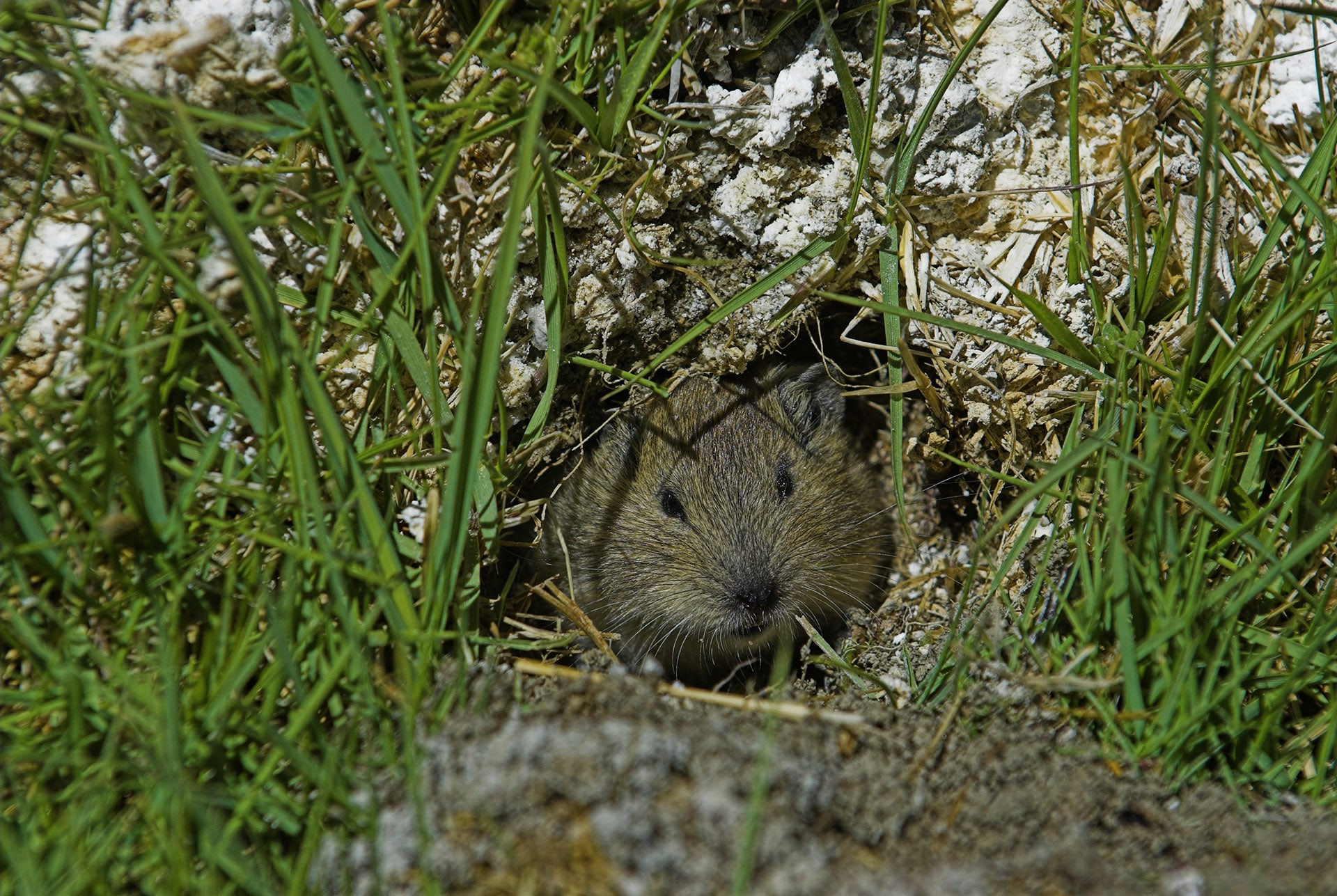 Ladakh pikas are furry animals that look part-rodent, part-rabbit. They live in family groups in the Changthang, in burrows which have multiple entrances to allow for easy escape and entry.