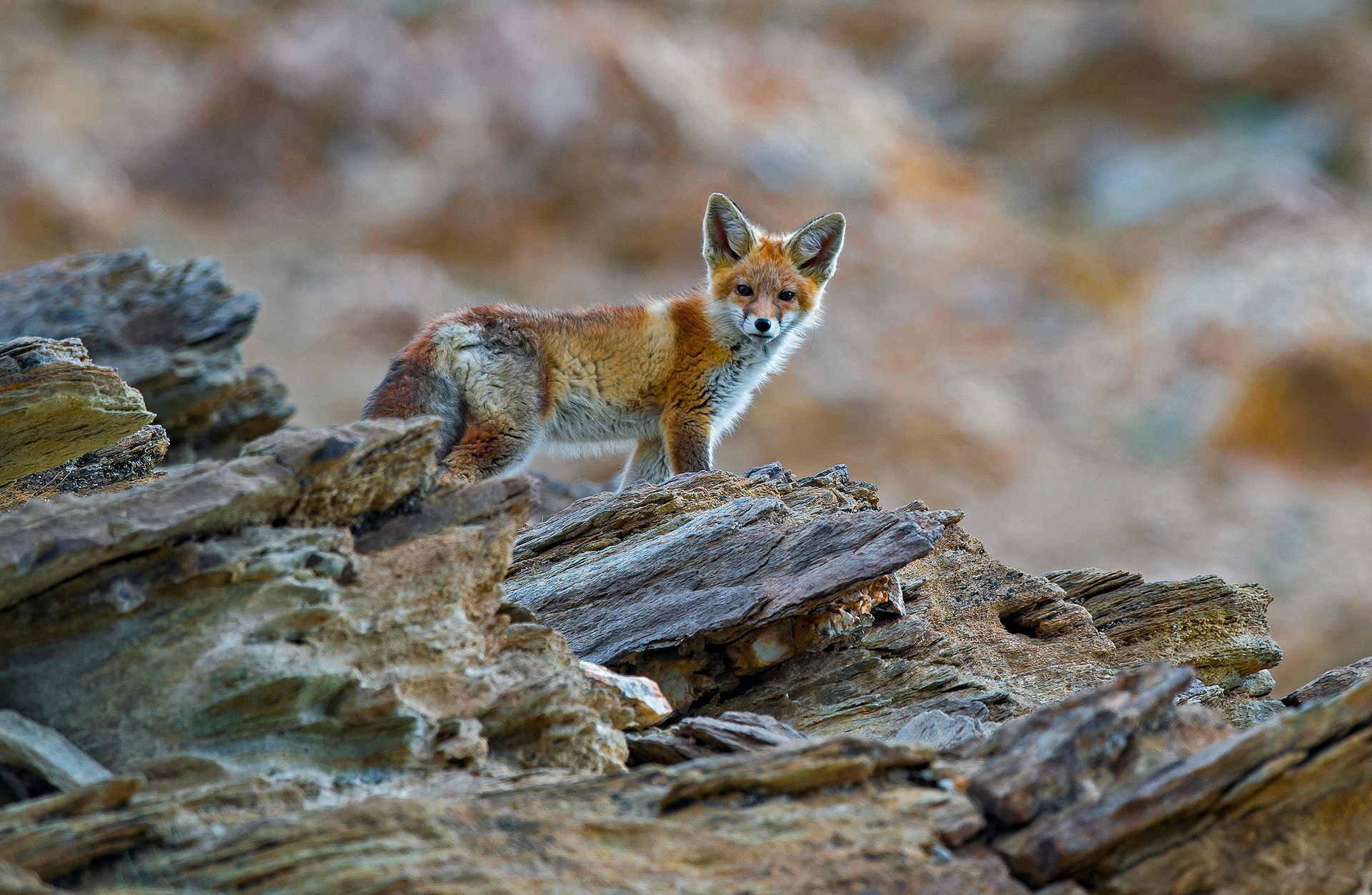 Active at night, the red fox is mostly a loner, at best roaming in mating pairs, in the sandy wastelands and sand dunes of the semi-arid Changthang.