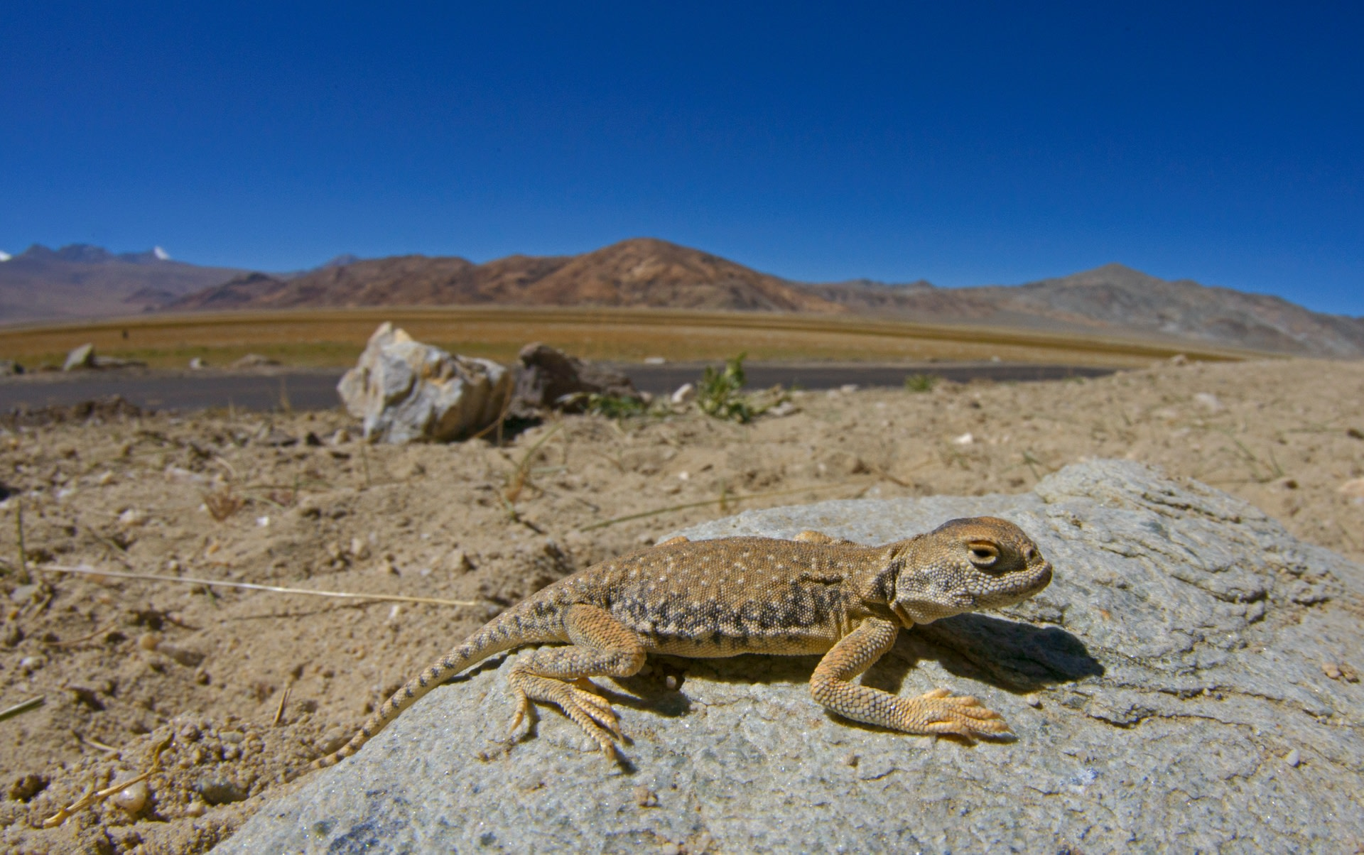 Uniquely genetically adapted to live in the unforgiving cold of the Changthang region, the toad-headed agama is often found near water bodies, spending a fair amount of the day sunning itself on rocks.