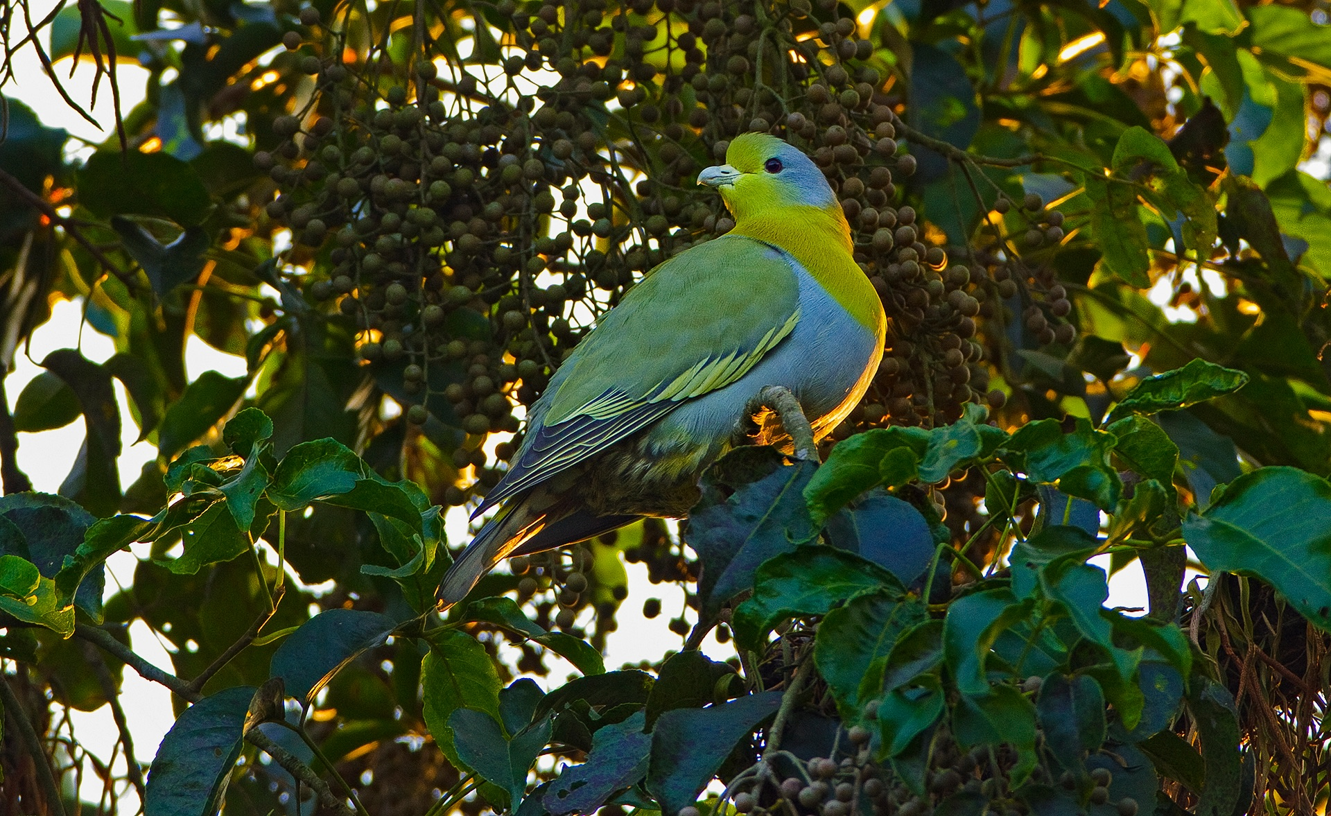 The yellow-footed green pigeon is among the sanctuary's more striking inhabitants. It is one of the 283 avian species that call the reserve home. Photo: Dhritiman Mukherjee  The landscape of Assam's Dehing Patkai Sanctuary is moulded by the Burhi Dihing river, which winds its way through the reserve forest. Photo: Dhritiman Mukherjee