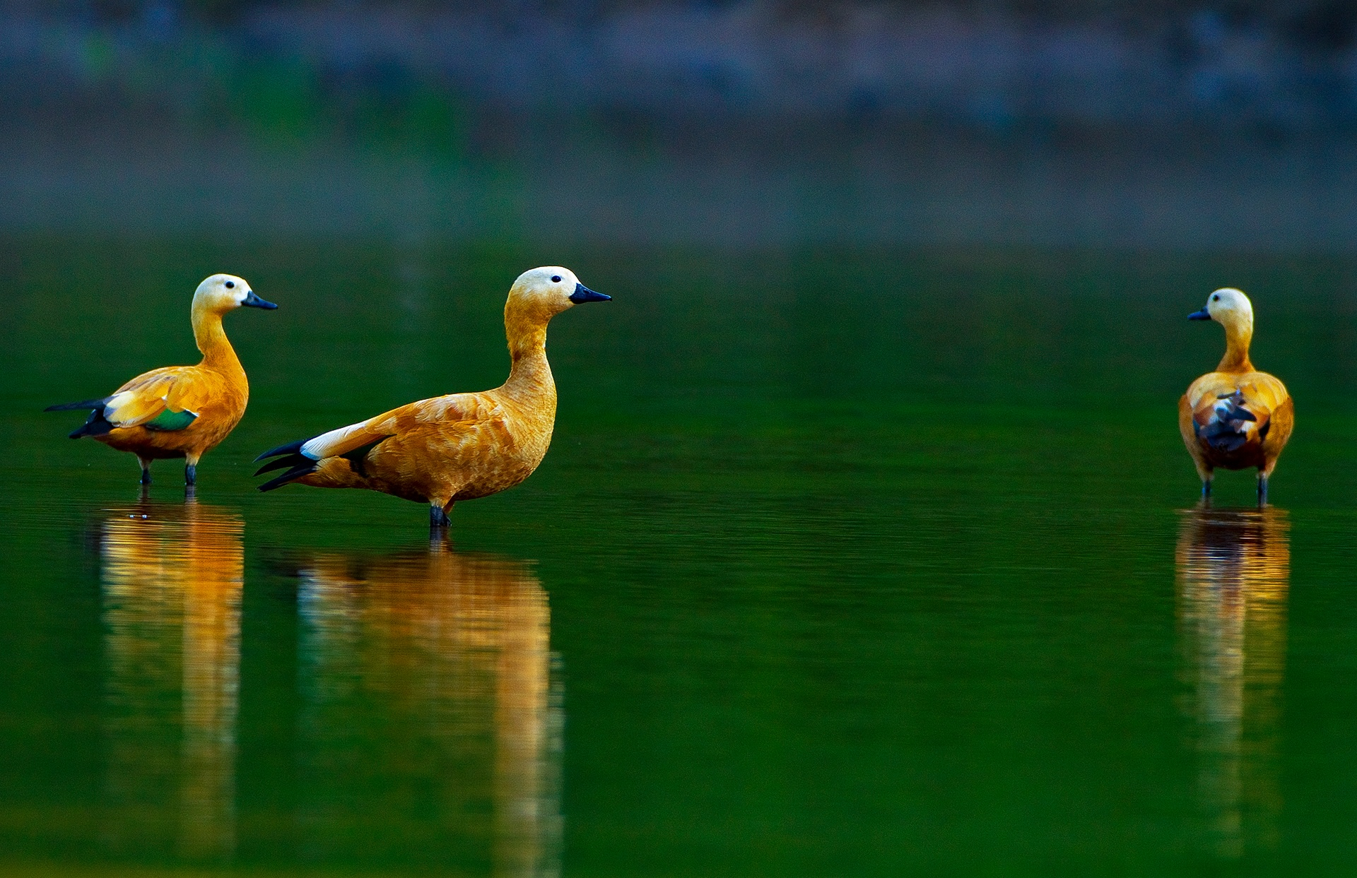 In winters, migratory species, such as the ruddy shelduck, flock to the banks of the Buri Dehing river. Photo: Dhritiman Mukherjee