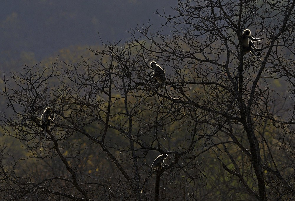 Mostly terrestrial, troops of Hanuman langurs, return to trees in the evenings to rest and sleep. As the sun sets, and they climb high branches, their backlit, silver silhouettes shine in the evening light. Photo: Dhritiman Mukherjee