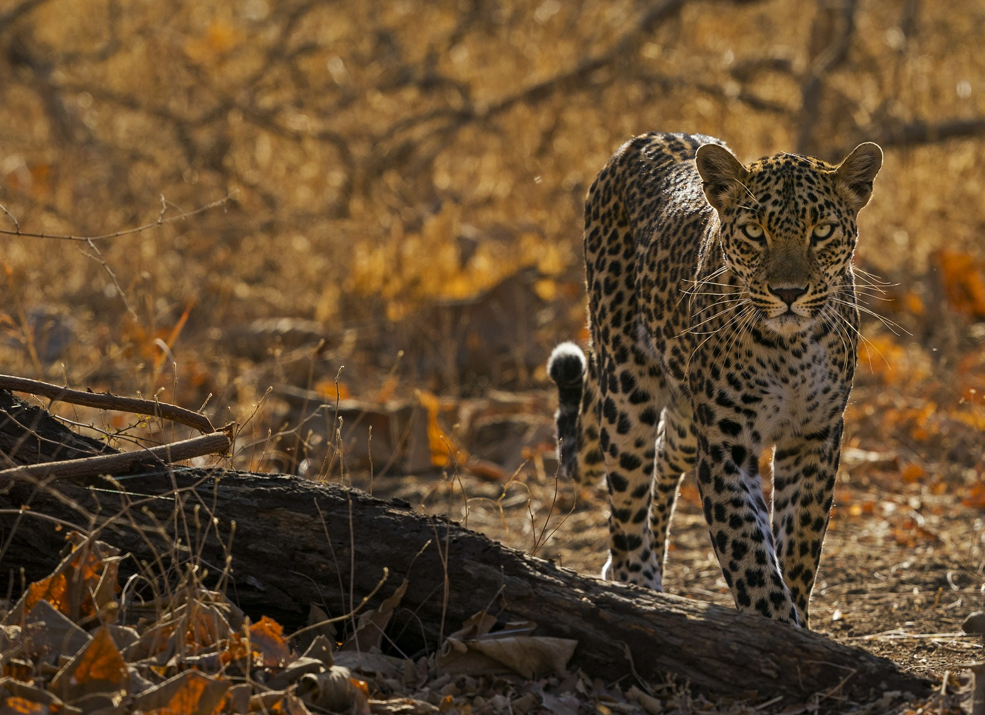 The park is best known for the lions, but the elusive leopard is the second largest predator of the forest. Photo: Dhritiman Mukherjee