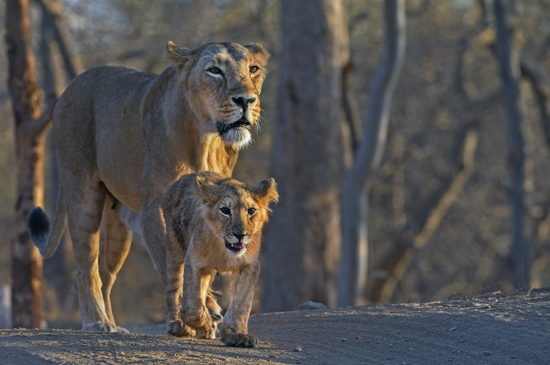 The Asiatic lion mother is an attentive parent. She teaches her cubs to hunt and protects her young from other aggressive adult males. The cubs live with mothers for 1-2 years. Photo: Dhritiman Mukherjee