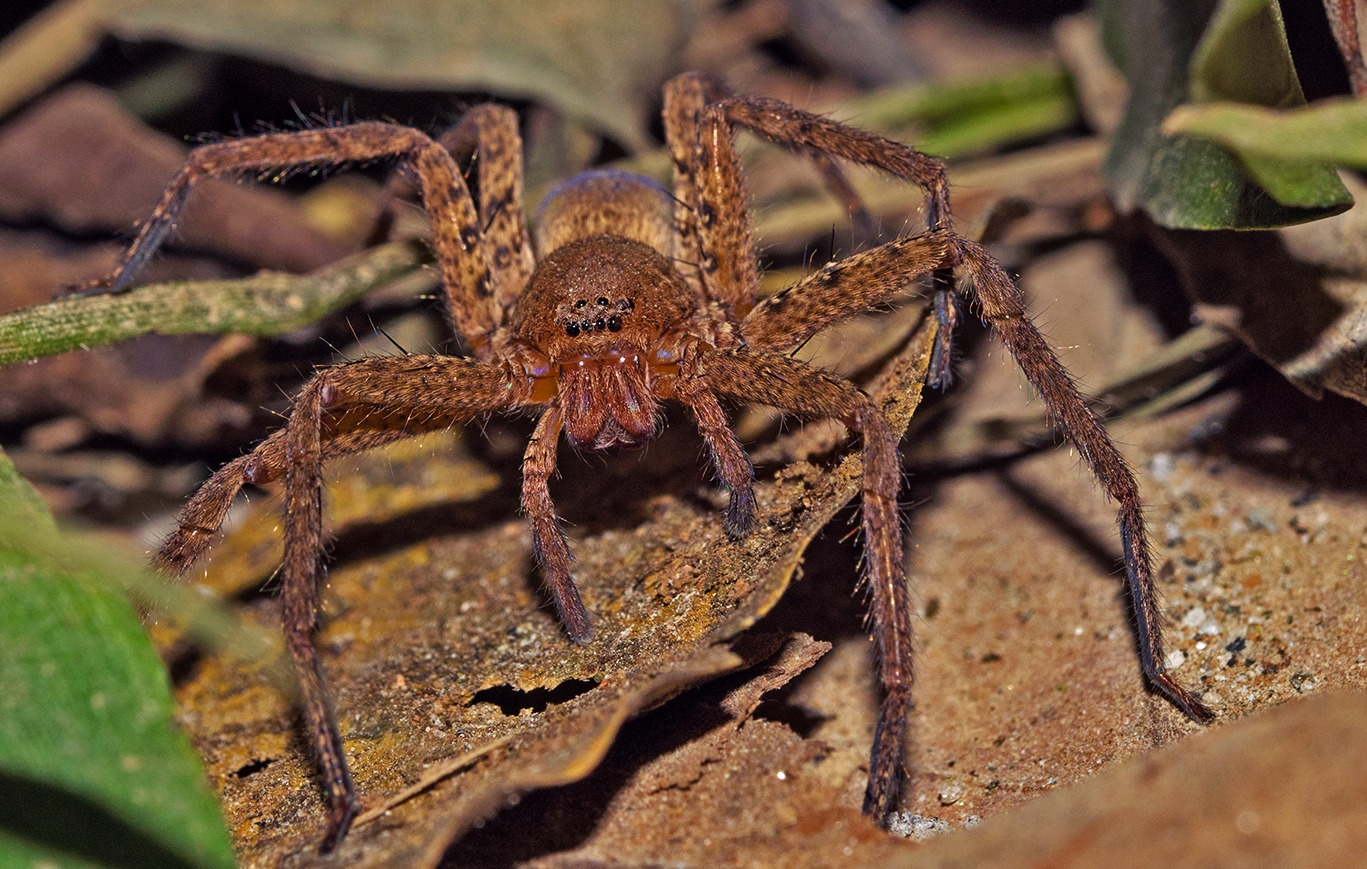The forest floor thrums with life and a host of small life forms due to its high content of organic matter including humus and leaf litter. Predators like this huntsman spider rely on ambush to hunt their prey of insects, tiny reptiles, and amphibians. Photo: Shashank Birla