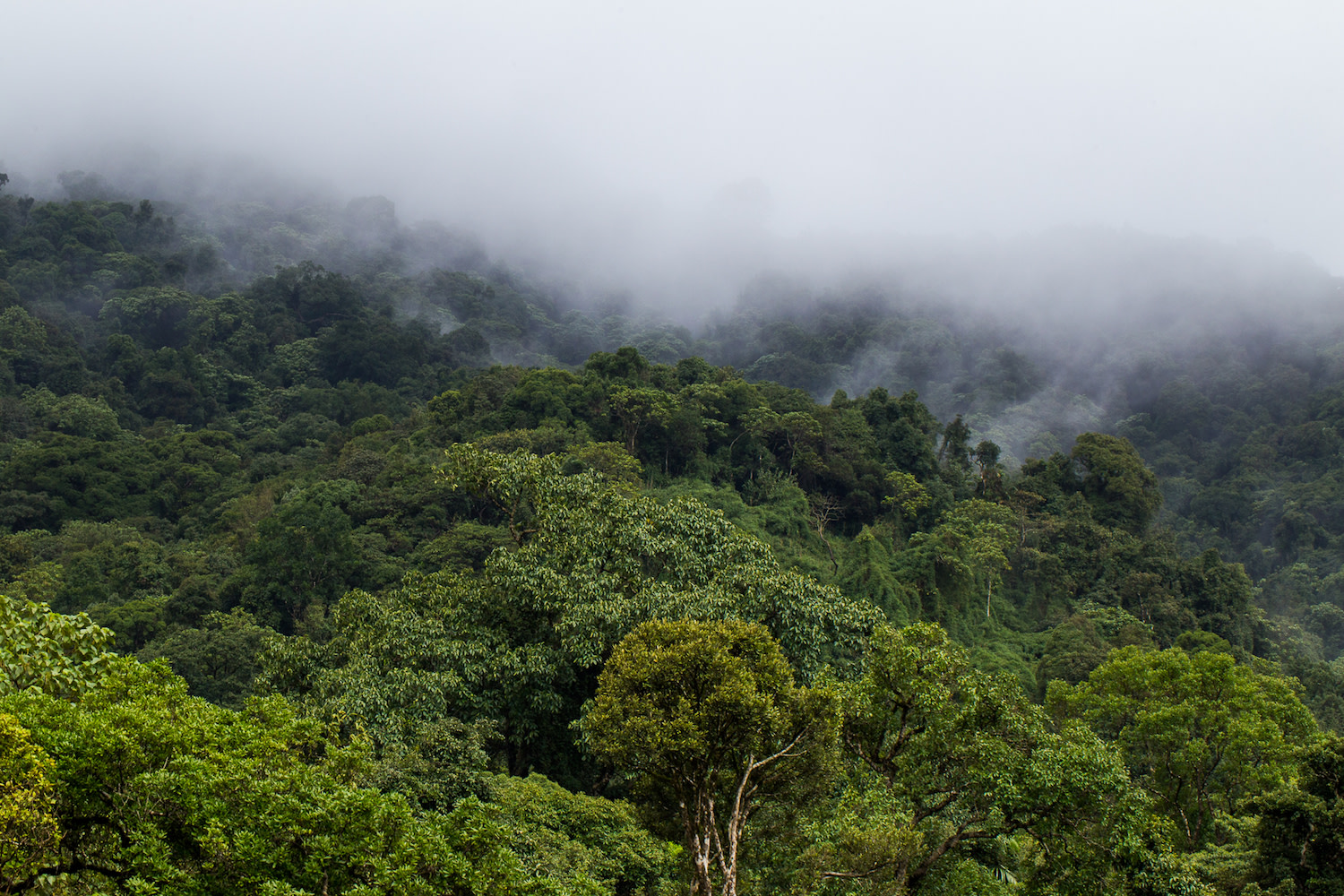 Much of the wilderness in Wayanad comes under the definition of a 'cloud forest'. Tropical forests like this area near Aranmala peak in Wayanad, are often covered with a form of low cloud cover just above the tree canopy through a process known as evapotranspiration (the movement of water vapour into the atmosphere from land). Photo: Saurabh Sawant