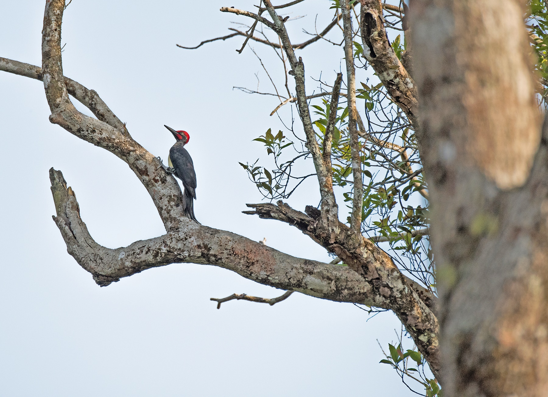 The sight of an imposing white-bellied woodpecker in these forests is a treasured one. Second only in size to the slaty woodpecker found in north India, this striking species fits itself in an enclosed tree hollows to roost. Photo: Shashank Birla