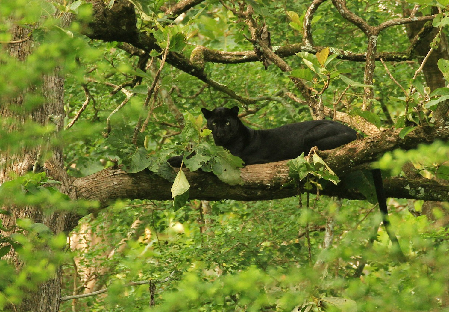 "Everyone clamours for a glimpse of 'Blackie', as guides and regular visitors affectionately refer to the black panther. So rare is a sighting, that its earned the moniker ""ghost of the forest"". 