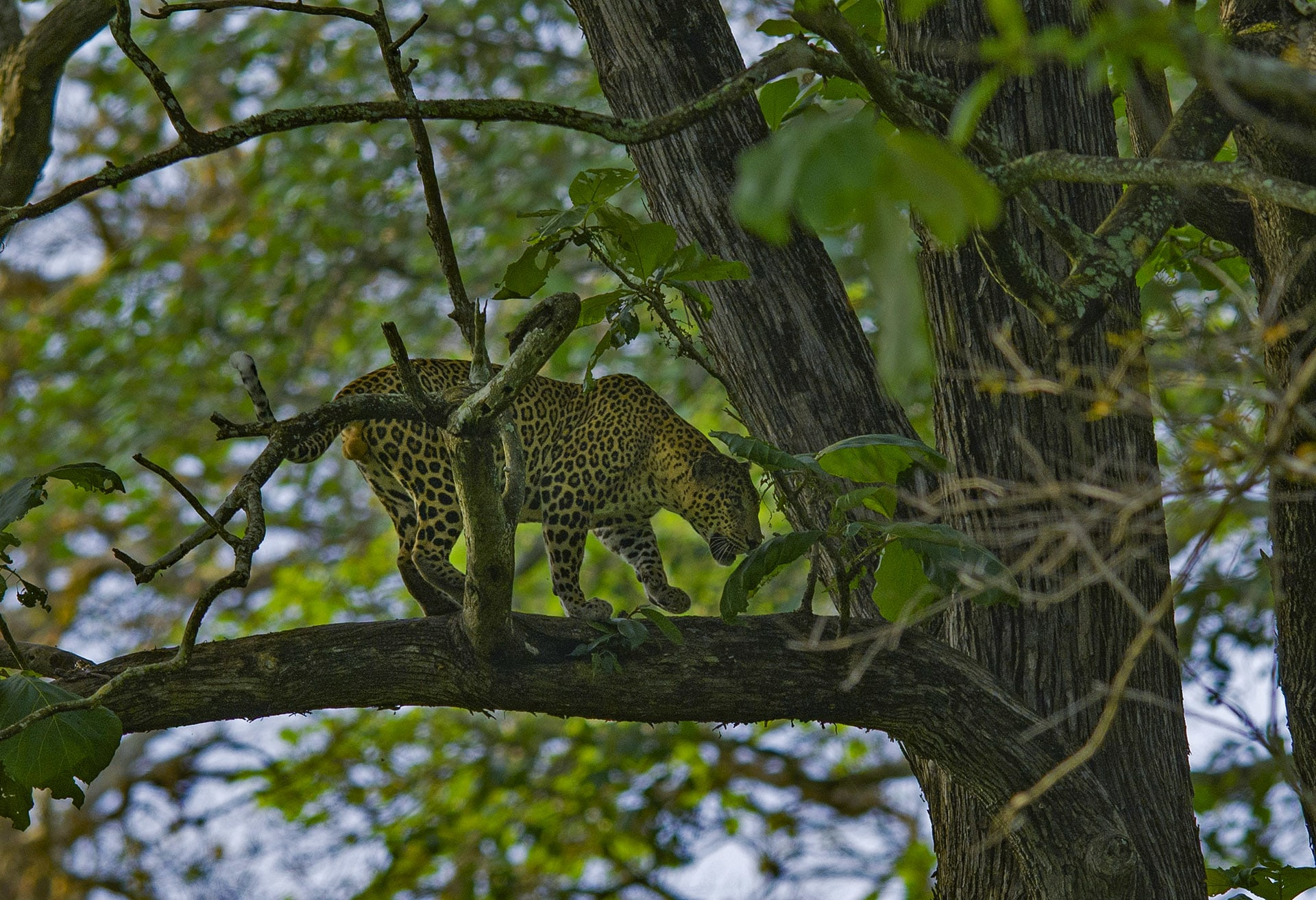 There are over a 100 leopards that roam the forested tracts of Kabini. The cats are incredibly shy and stealthy, and spotting them is very hard. 