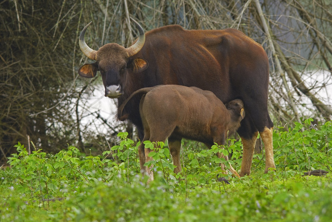 As the largest bovine species, a gaur calf is about 25 kg at birth and can weigh up to a 1,000 kg. Despite their size and mighty horns they are fearful and wary of human presence.