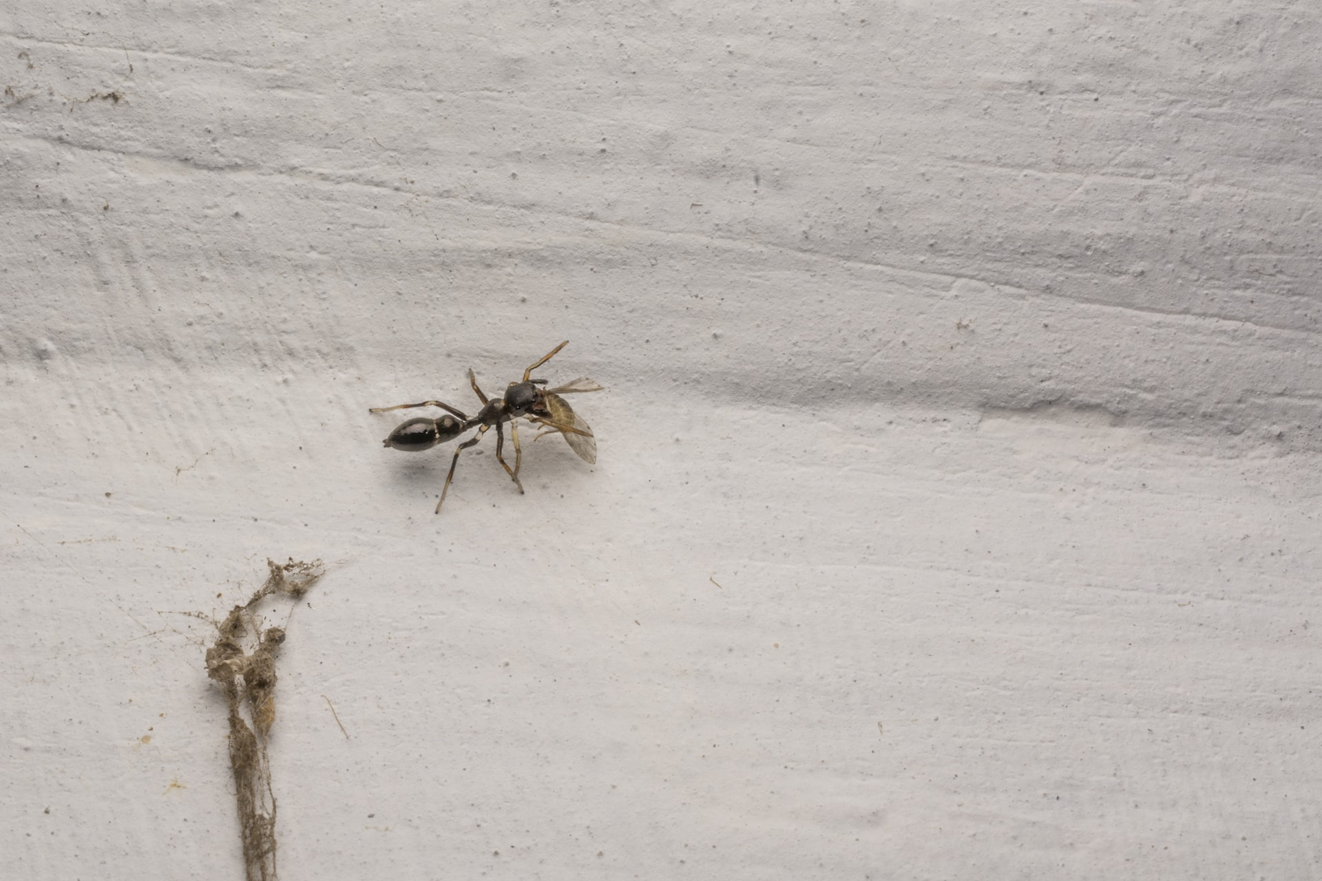 An ant-mimicking jumping spider devours an unsuspecting fly. Jumping spiders belonging to the genus Myrmarachne use an ingenious mechanism of imitating ants to protect themselves.