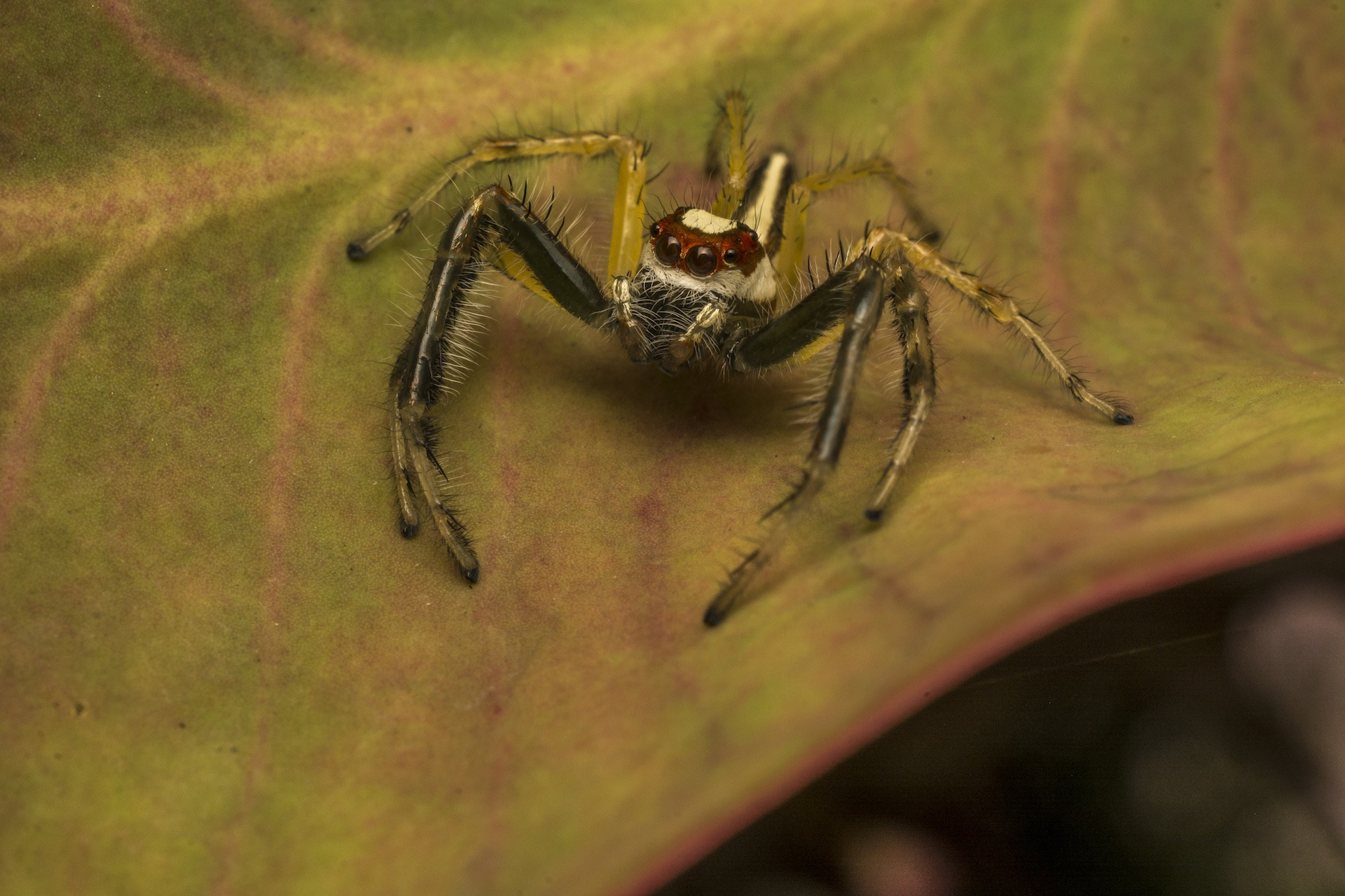A two-striped jumper Telamonia dimidiata on the lookout for its next meal. This spider can often be found resting on the under surface of leaves.    Cover: A heavy-bodied jumper Hyllus semicupreus stalks prey. Jumping spiders belong to the largest and most diverse arachnid families — Salticidae.