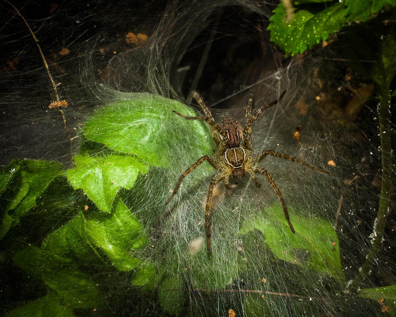 A funnel-web spider sits outside its web waiting for its next meal, of an insect or snail, to walk by.  Cover: Seen in the early hours of the morning, this male net-casting spider has swollen pedipalps, the second pair of appendages which function as a sensory organ of touch in spiders.