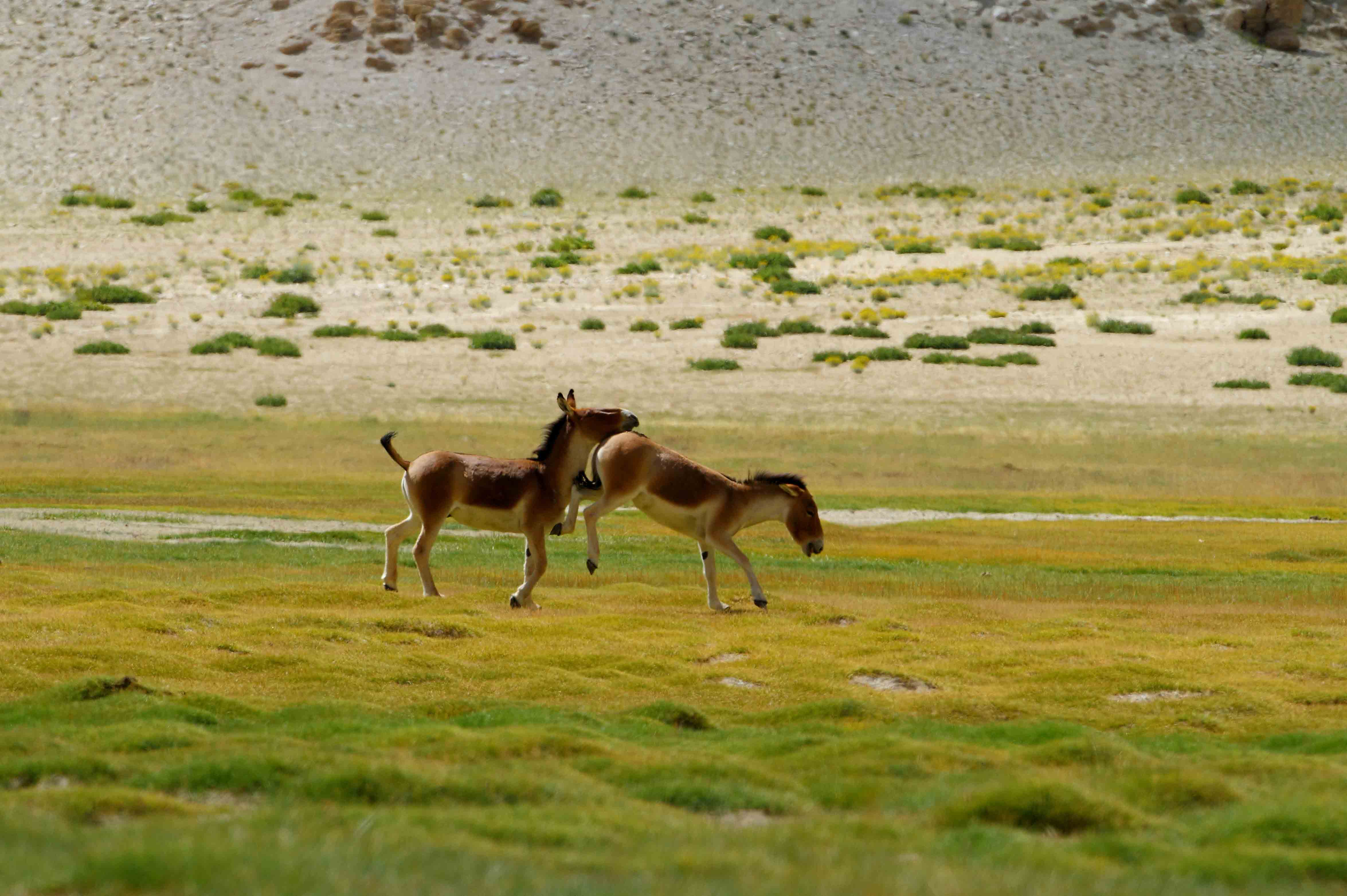 With grass in abundance, summers in Changthang are less trying times for the kiang, and they can often be seen in a playful mood. Photo: Shivang Mehta