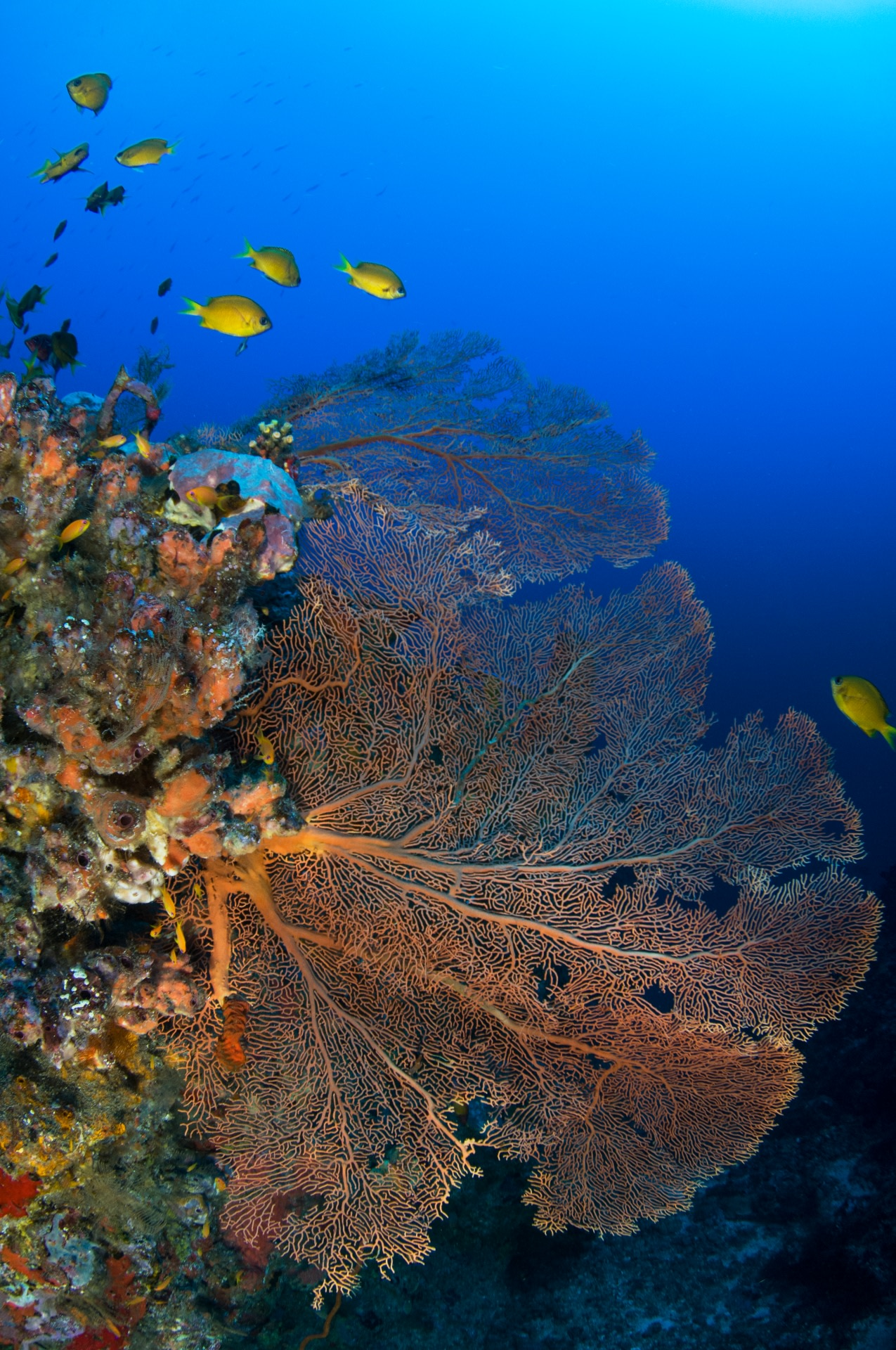A sea fan grows off a rocky wall in a direction perpendicular to the dominant currents, maximising plankton intake while withstanding the force of the water movement. Photo: Umeed Mistry