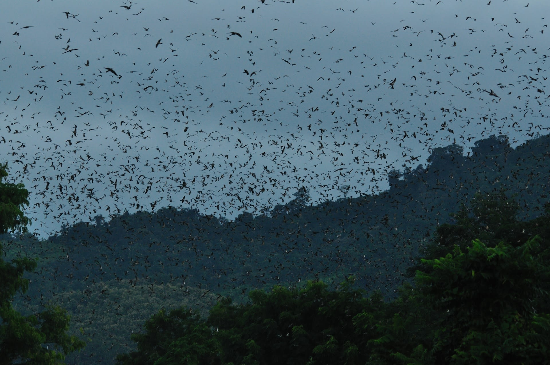 Raptors returning to their roosting sites at dusk seeking safety in numbers. 
