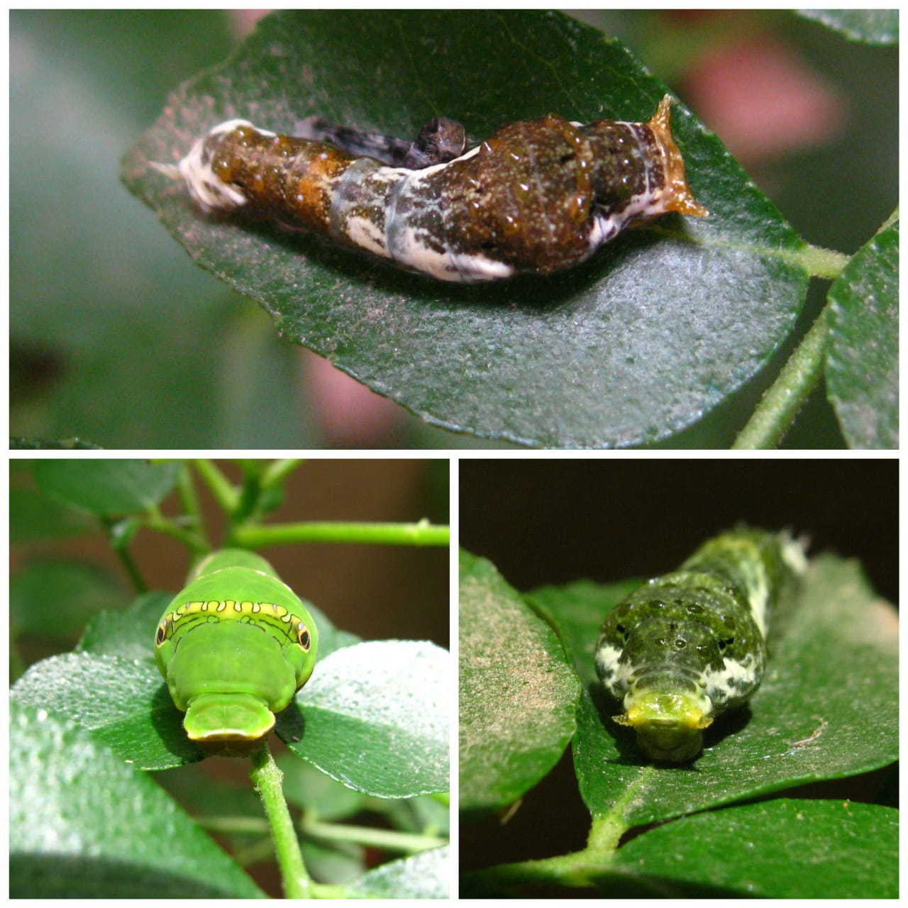 Caterpillars go through several developmental stages, and can look quite different in each phase. This is the caterpillar of the common Mormon butterfly on a curry leaf plant. In the earlier stages (top and bottom right), the caterpillar resembles bird poop to escape predation. In the bottom left panel, the caterpillar has developed eye-spots — another strategy to deter would-be predators. 