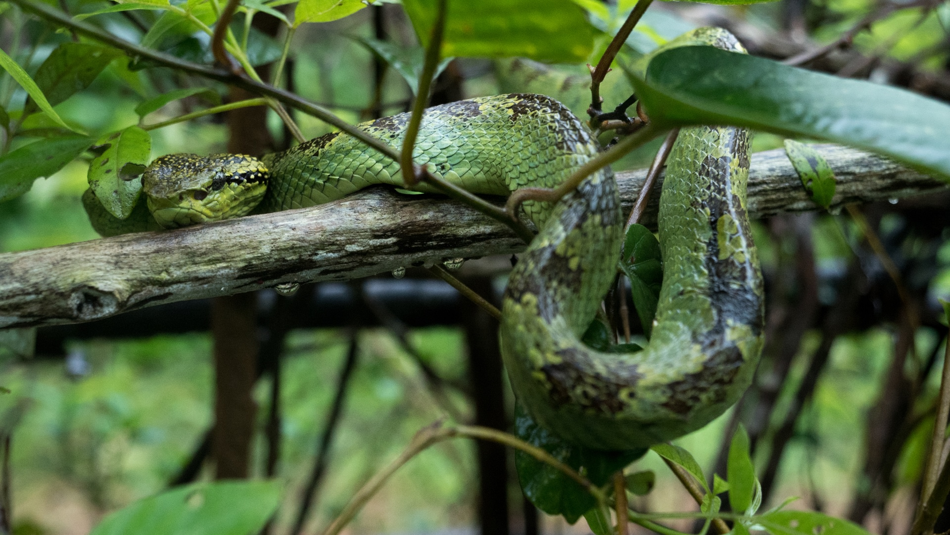"""Some researchers believe that the snake's morph is a good indicator of its habitat. """"Most large MPV females are green with chocolatey mottled colours,"""" Gerry says. """"When viewed from above, these colours break the form of the animal, making it very difficult to distinguish them from a branch covered with moss or lichen.""""  Photo: Pradeep Hegde"""