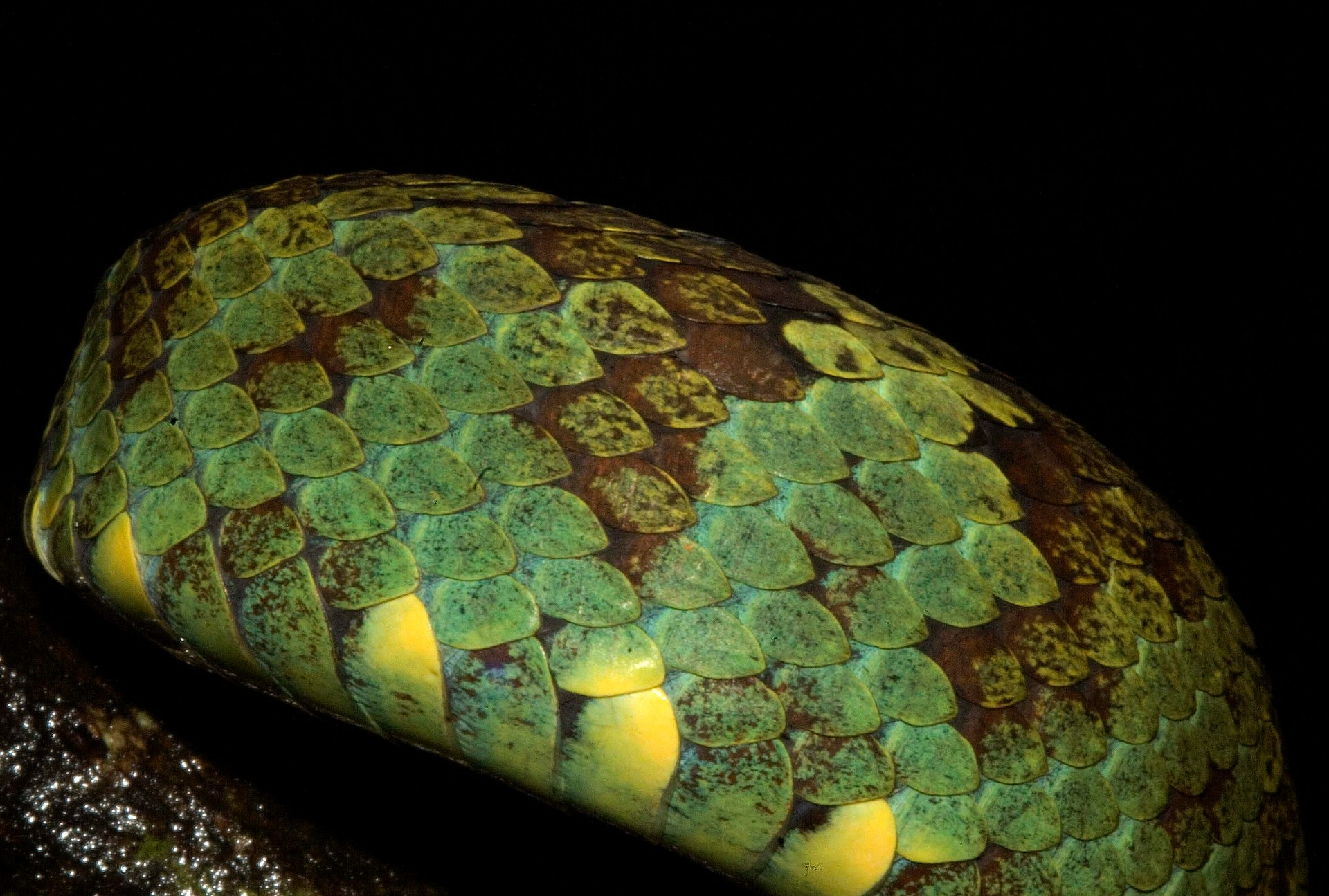 The next step in identification is to count the number of scales on the snake's body. Every species has a certain arrangement of scales, so noting the number of scales along the dorsal and ventral side, is a good way to ID species. Photo: Nirmal Kulkarni