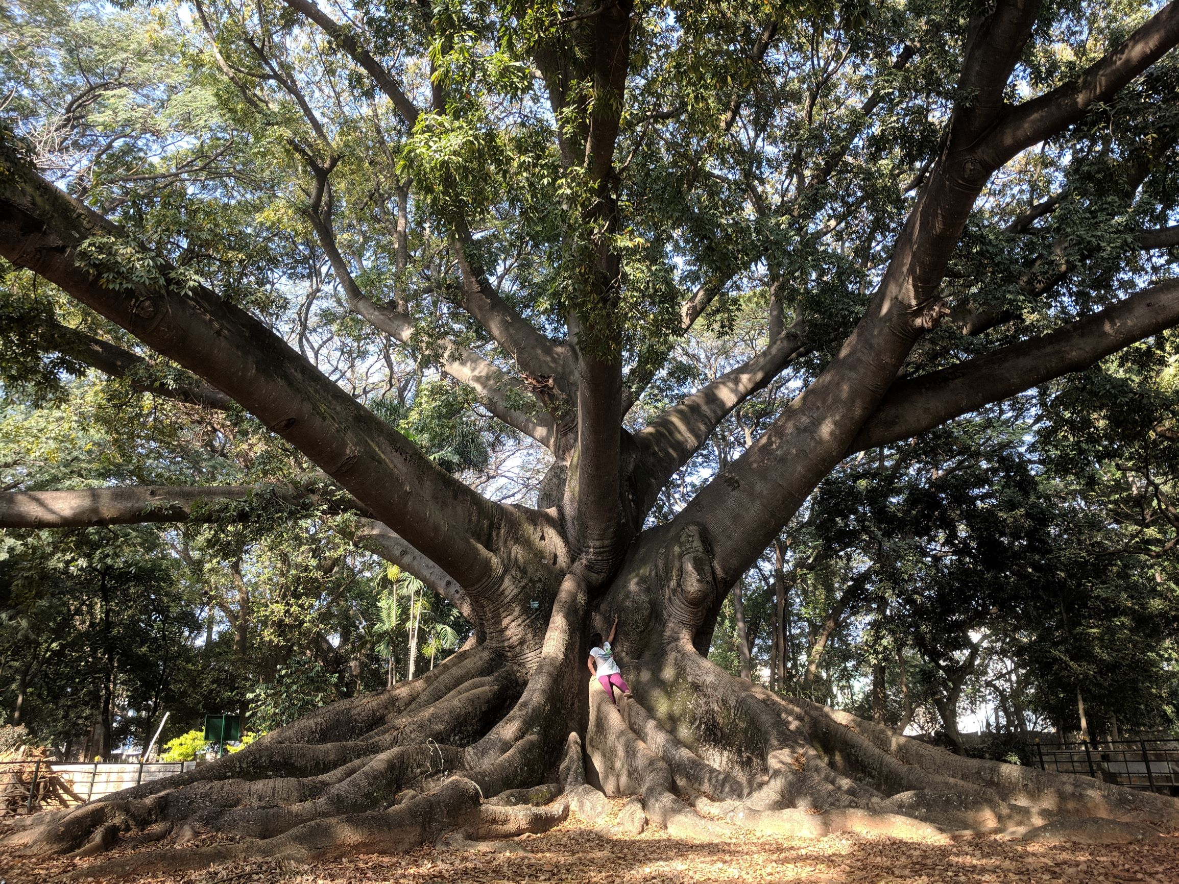 Lalbagh's trees are the oldest living denizens of Bengaluru. These include some exotic Persian and French varieties that were planted in the early 19th century.