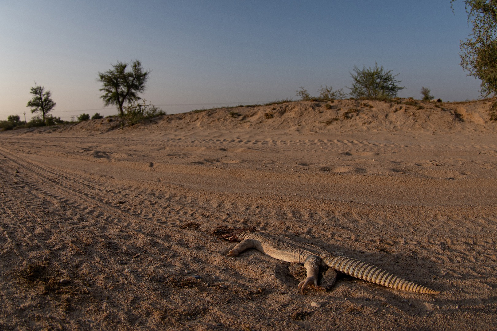 Of late, off-road driving and vehicular movement through desert regions have resulted in an increase in roadkill.