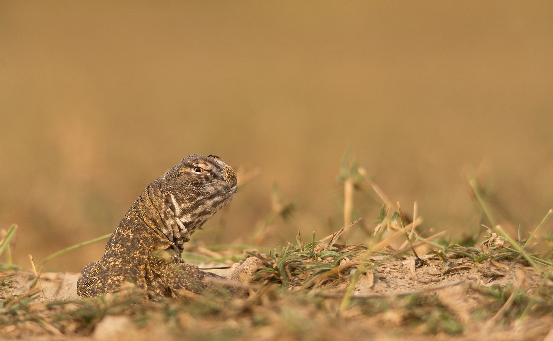 A spiny-tailed lizard scopes out the landscape, before fully emerging from its burrow (above). It spends the night underground, but also retreats to its burrow when it senses a threat. It appears to know its own burrow, though it is unclear how it identifies it amongst the others.  The spiny-tailed lizard aka Saara hardwickii is one of many reptile species in the Thar Desert, armed with special adaptations that enable them to thrive in extreme conditions (top). It is found in dry habitats in the southwestern Asia, ranging from Iran to north-western India.