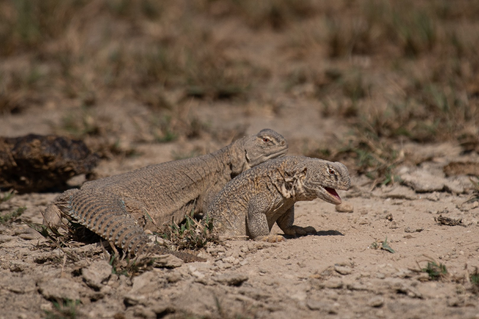 Under duress, spiny-tailed lizards defend their burrows by puffing up their bodies to block the entrance, and also to appear bigger and stronger to the intruder.