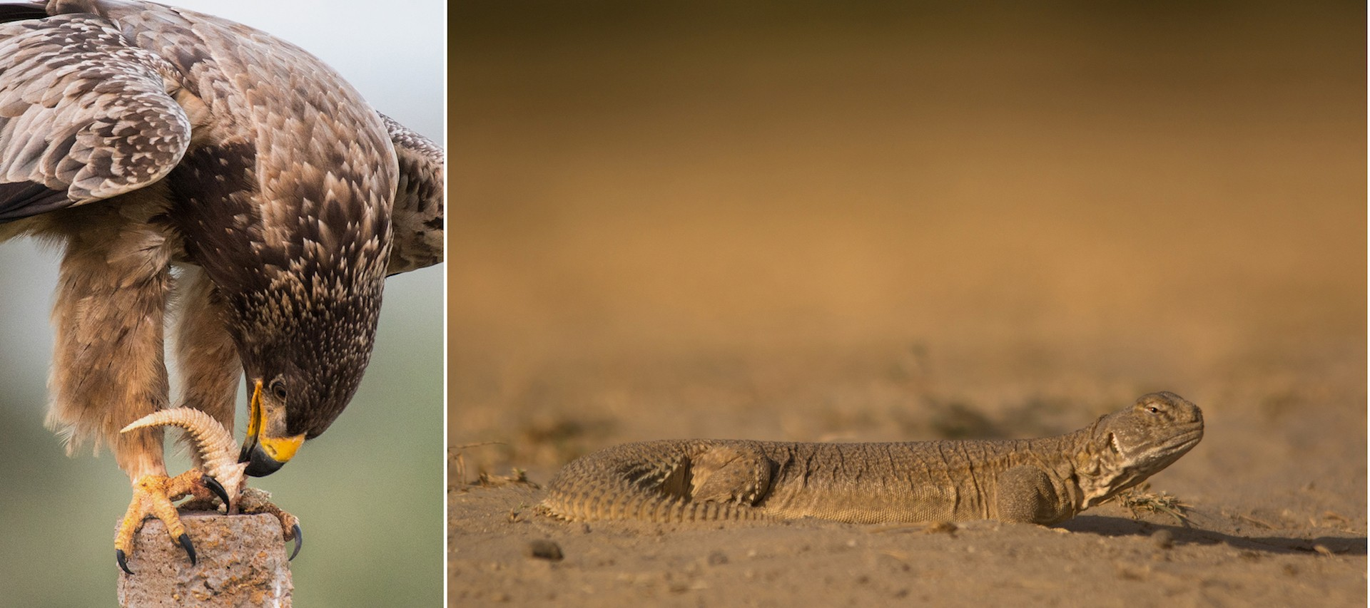 Birds such as the laggar falcon, booted eagle, and tawny eagle (left) are predators of the spiny-tailed lizard (right).