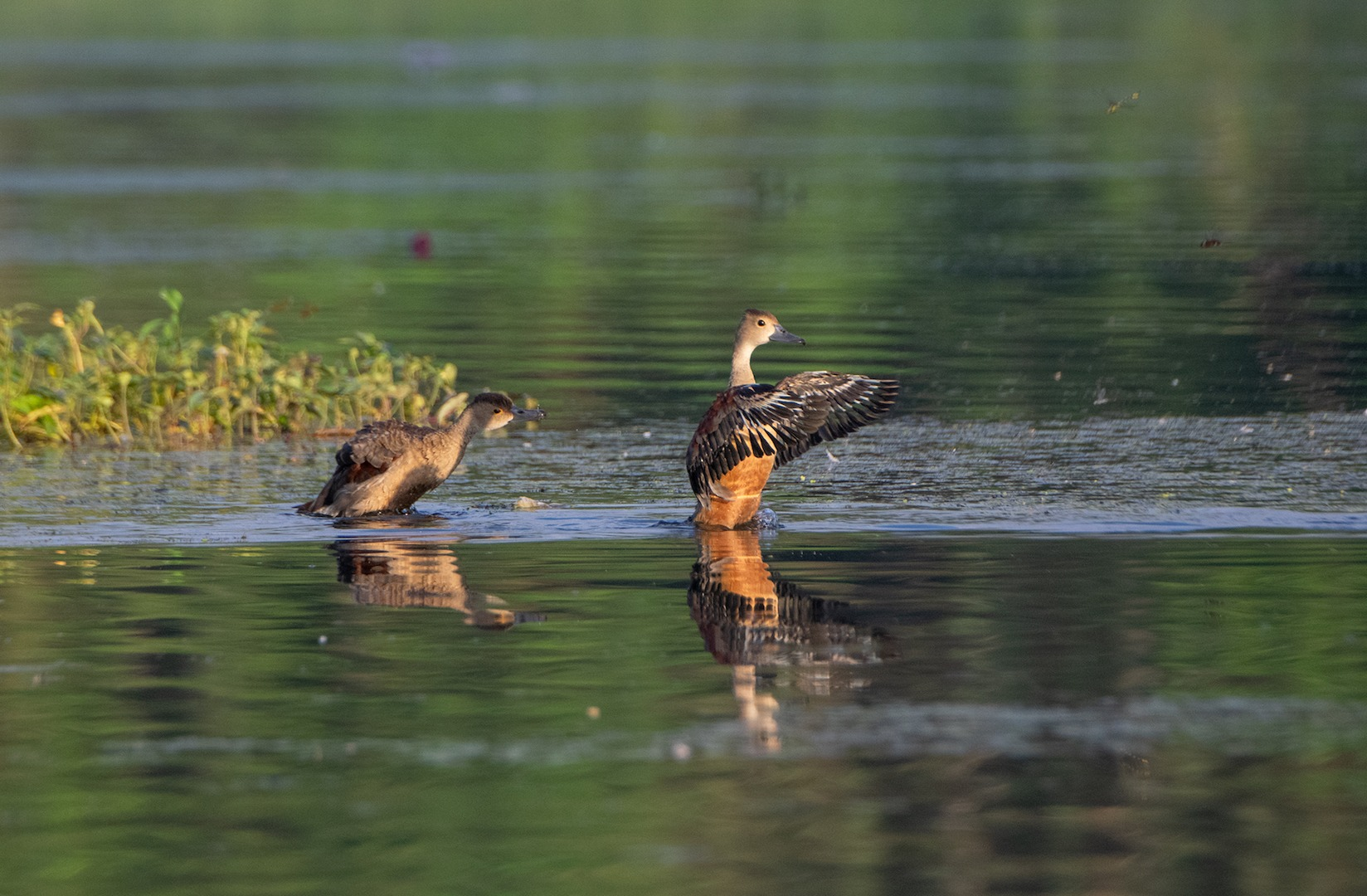 Lesser whistling ducks (above) and Indian spot-billed ducks are resident species at the lake, seen early in the morning and at sundown.