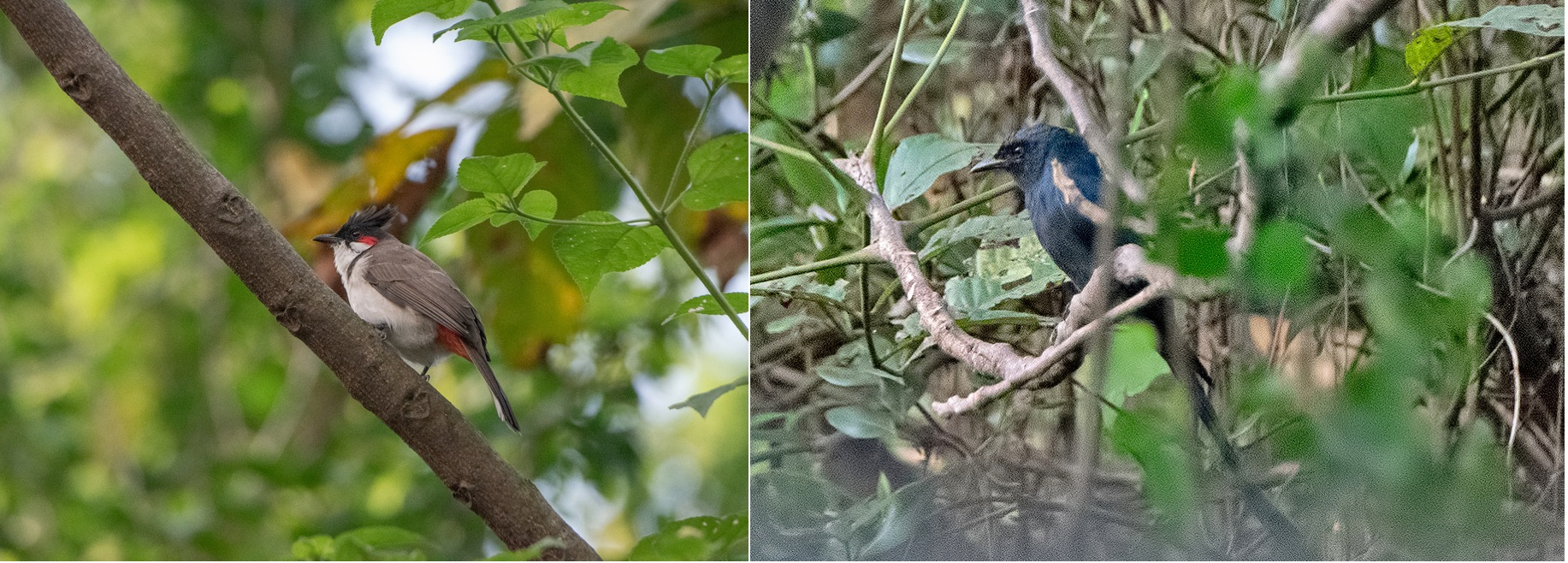 Children delight in observing red-whiskered bulbuls (left) for their appearance and melodious singing. The black drongo or kotwal, is favoured by birders for its defensive strategies. It's also the reason species like orioles, flycatchers, babblers, and sunbirds are often seen in close vicinity to drongos.