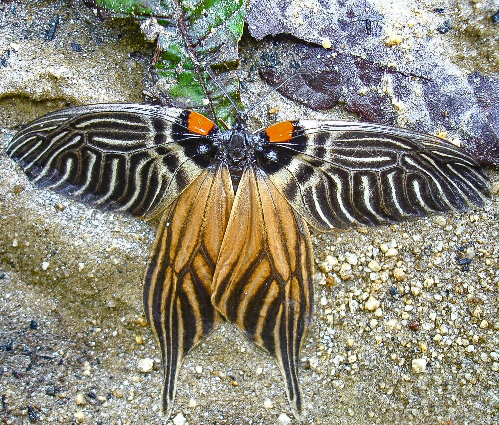 The Apatani glory is a diurnal moth, active during the day, unlike most other moths which are nocturnal.   Apatani glory moth, named after the local Apatanis and like the people of the tribe, it is dressed in bold patterns and bright colours. Photos: Punyo Chada