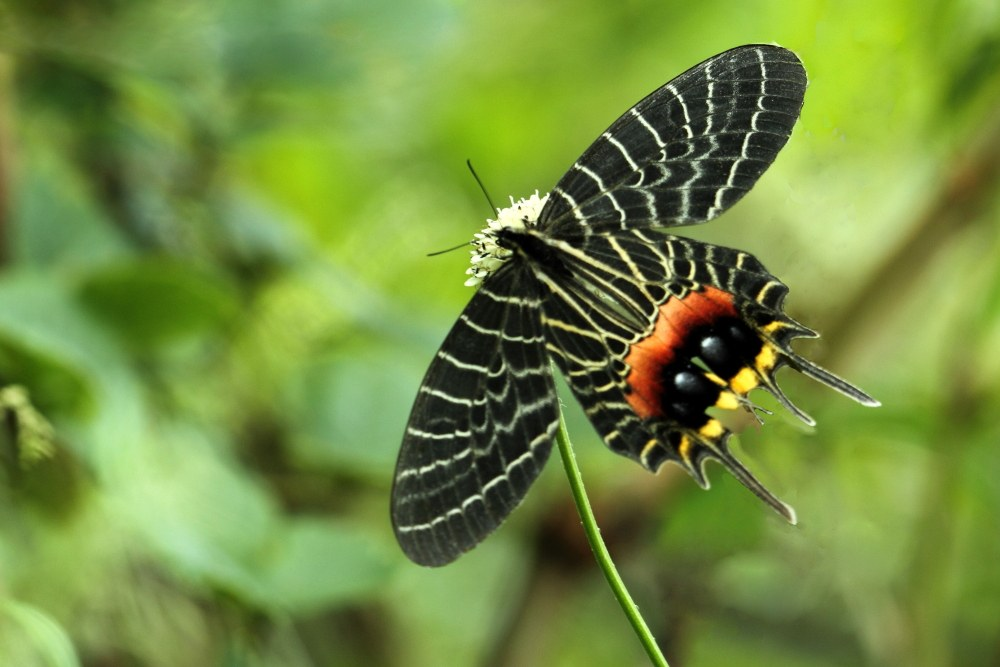 The elusive Bhutan glory is rarely seen since it is high-flier that stays mostly in the treetops.  Photo: Balakrishnan Valappil - CC BY-SA 2.0