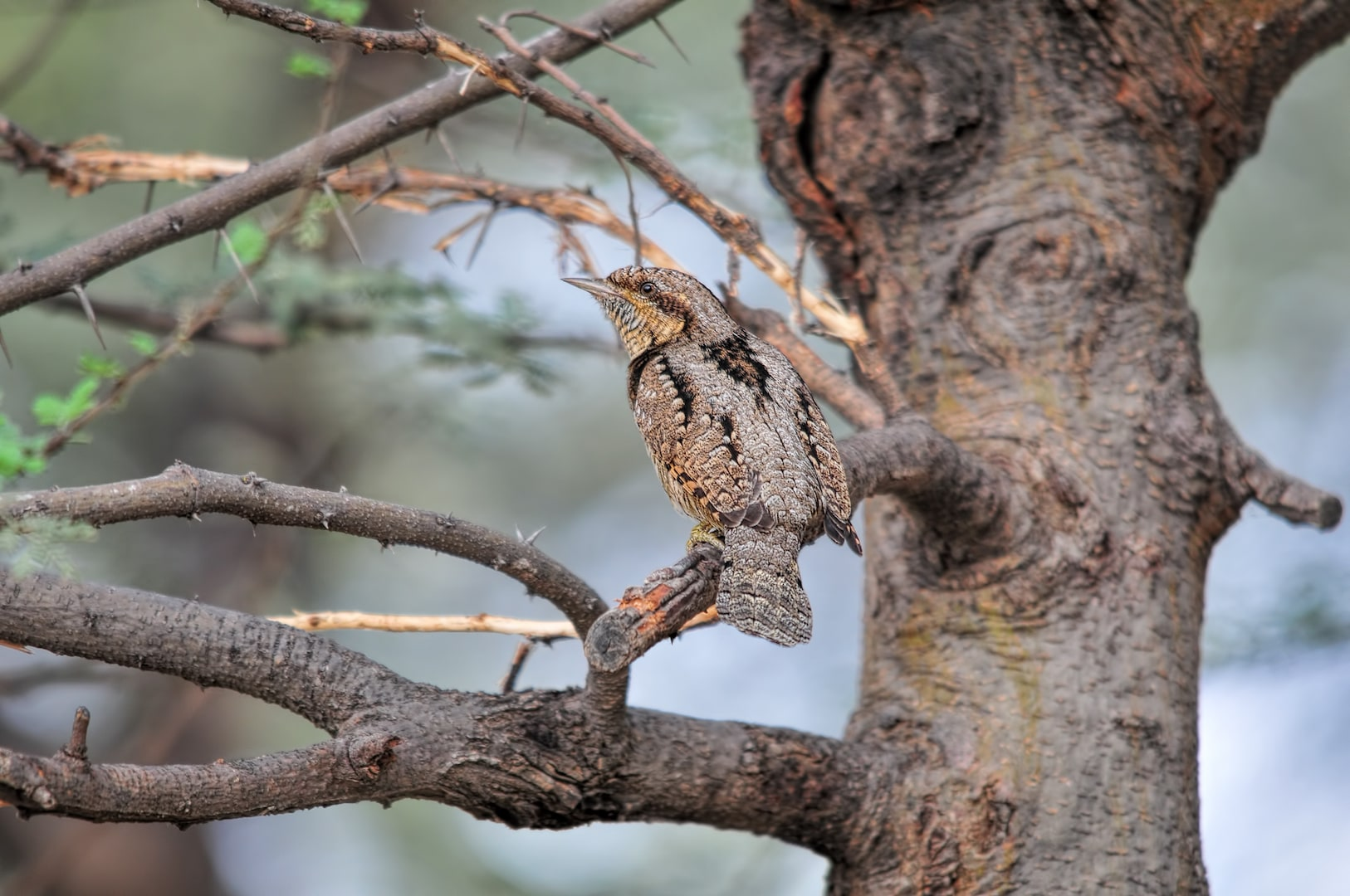 "The Eurasian wryneck is a thrush-sized bird that is nearly 17 cm in length. It has a repertoire of calls, from the  shrill encore ""quee-quee-quee-quee"" to abrupt ""tuck's"" and ""hisses"" when it is alarmed. Photo: dgaurh/Shutterstock"